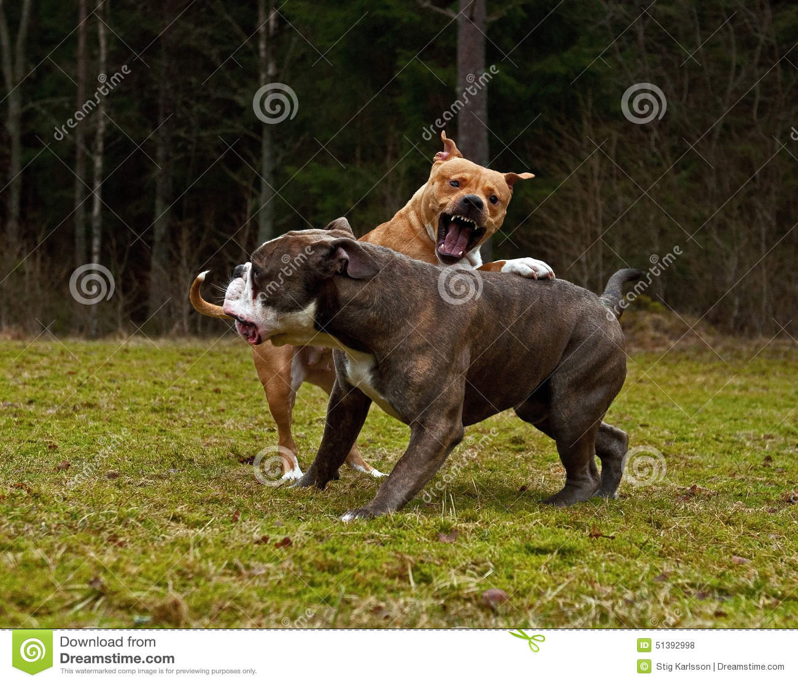 Jogo do pitbull que luta com o buldogue do inglês de Olde