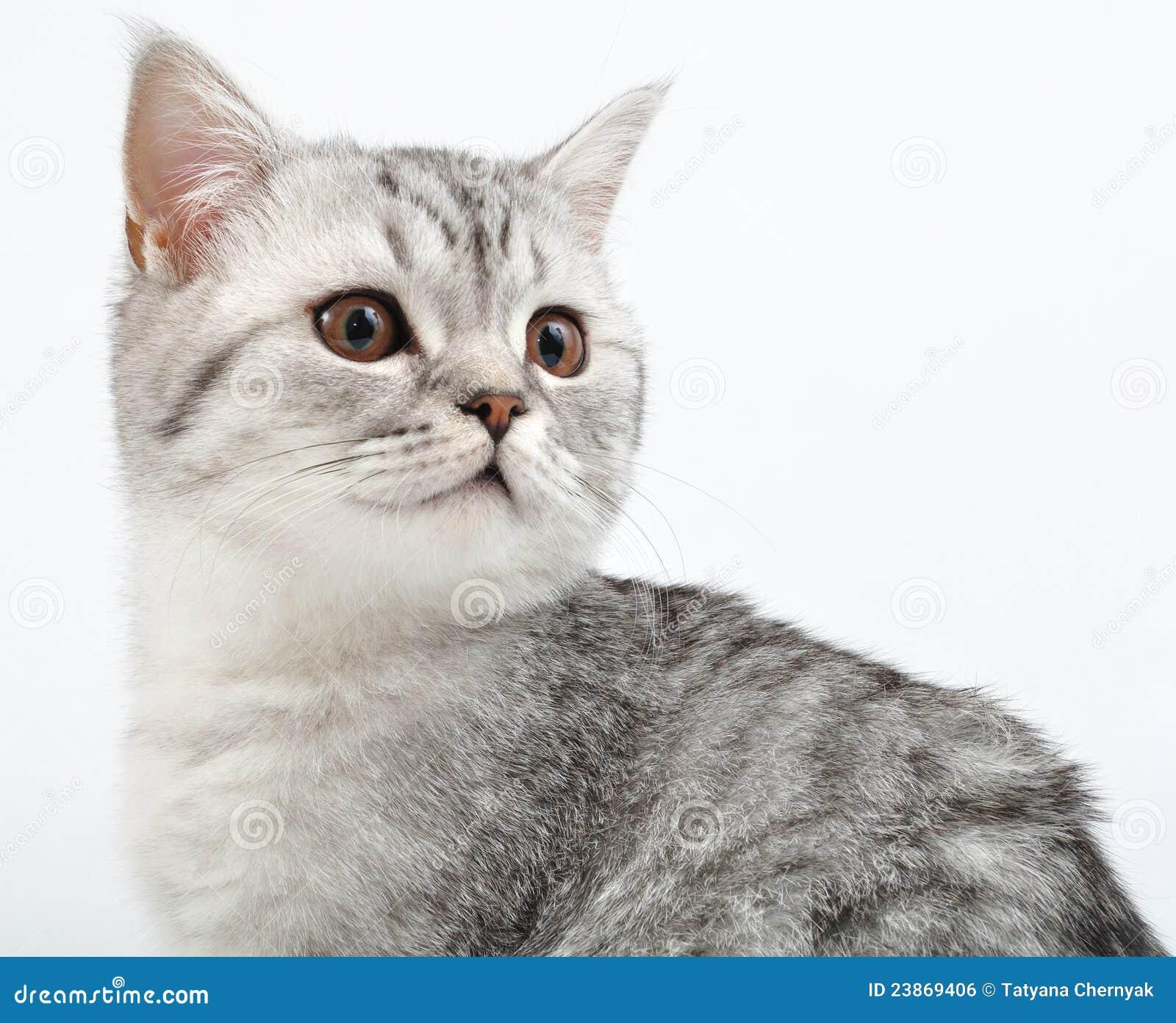 Jogo escocês de prata do gatinho