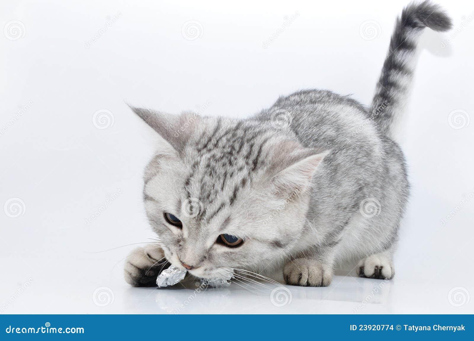 Jogo escocês do gatinho do tabby de prata
