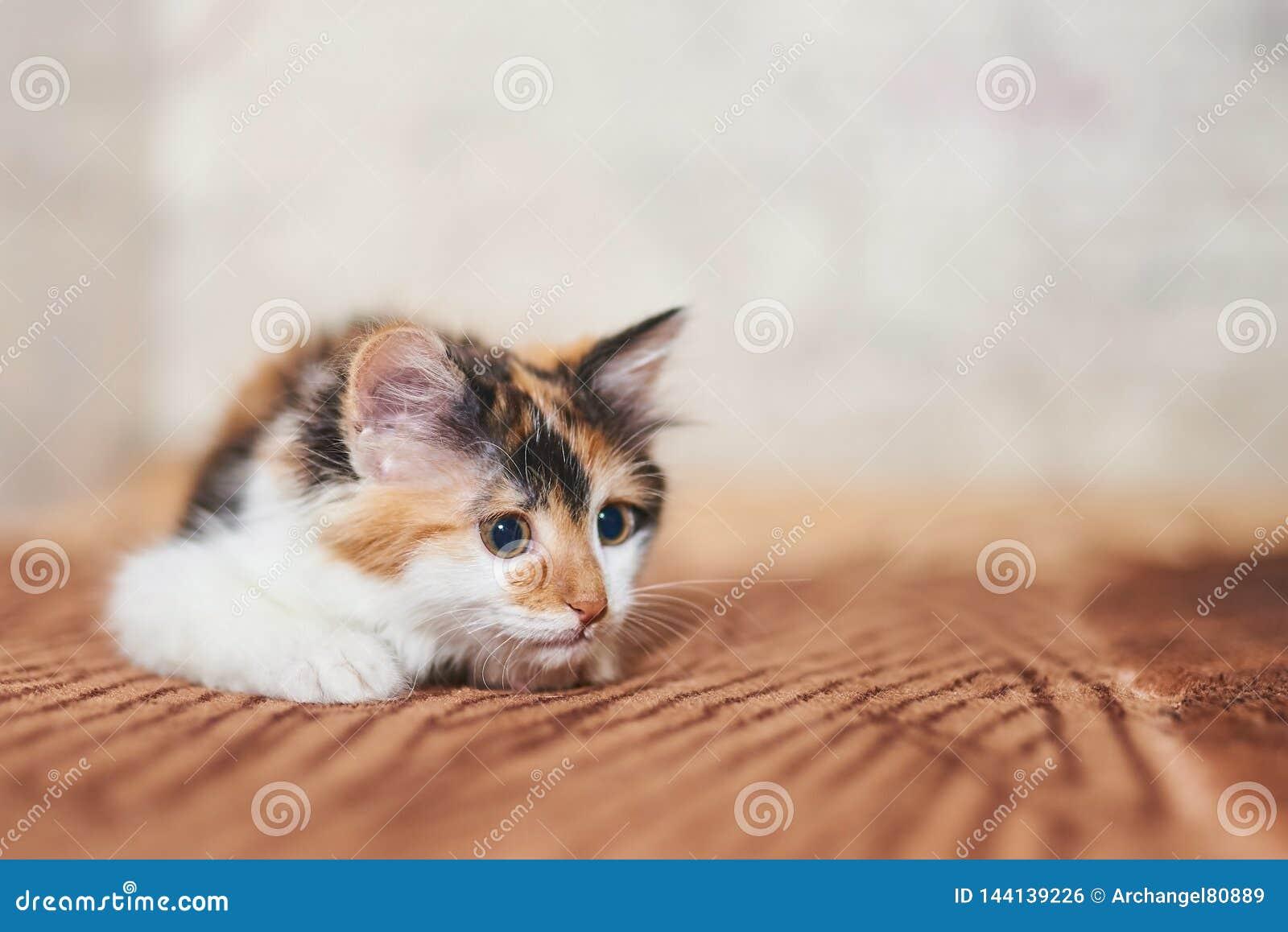 Jogo tricolor bonito do gatinho