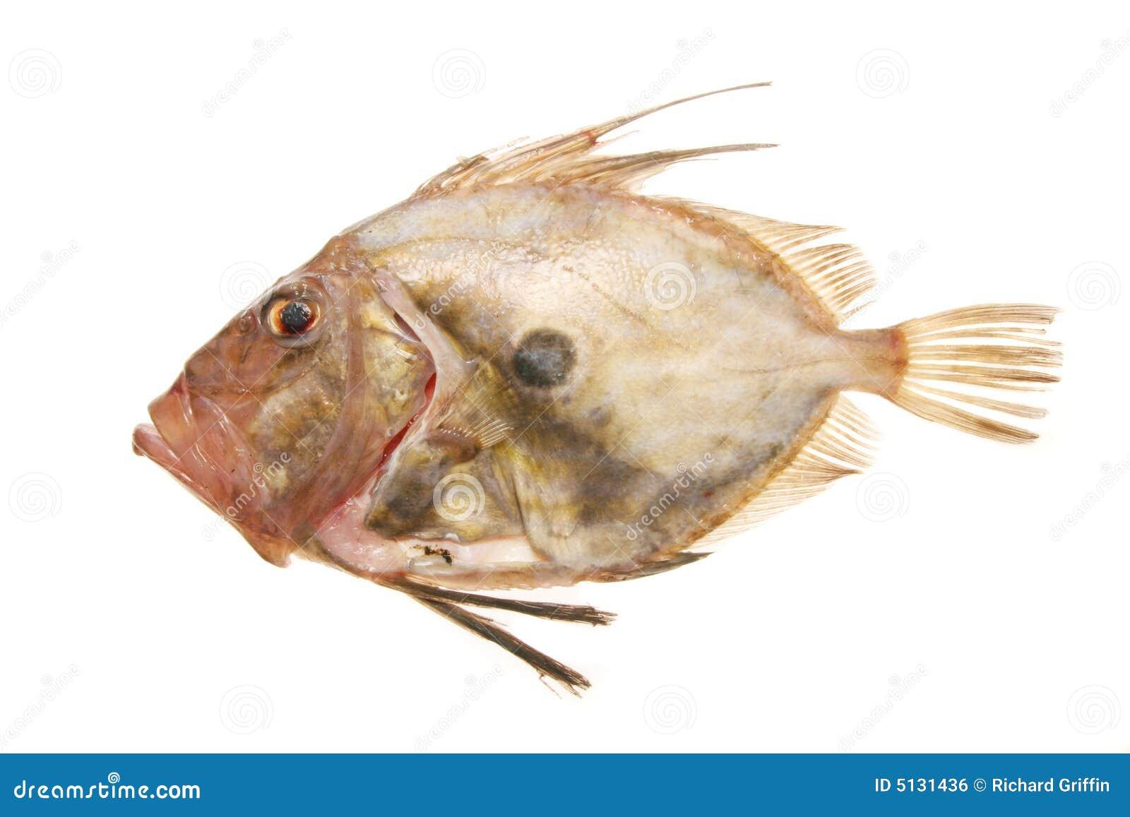 John-Ruderbootfische