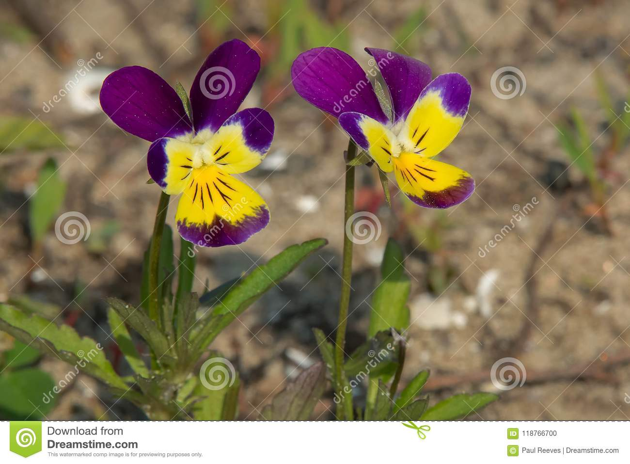 Download Wild Pansy - Viola Tricolor Stock Photo - Image of canada, wildflowers: 118766700