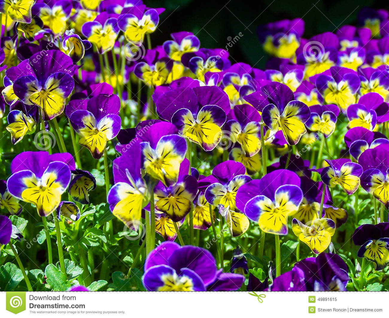 purple yellow flowers  flower, Beautiful flower
