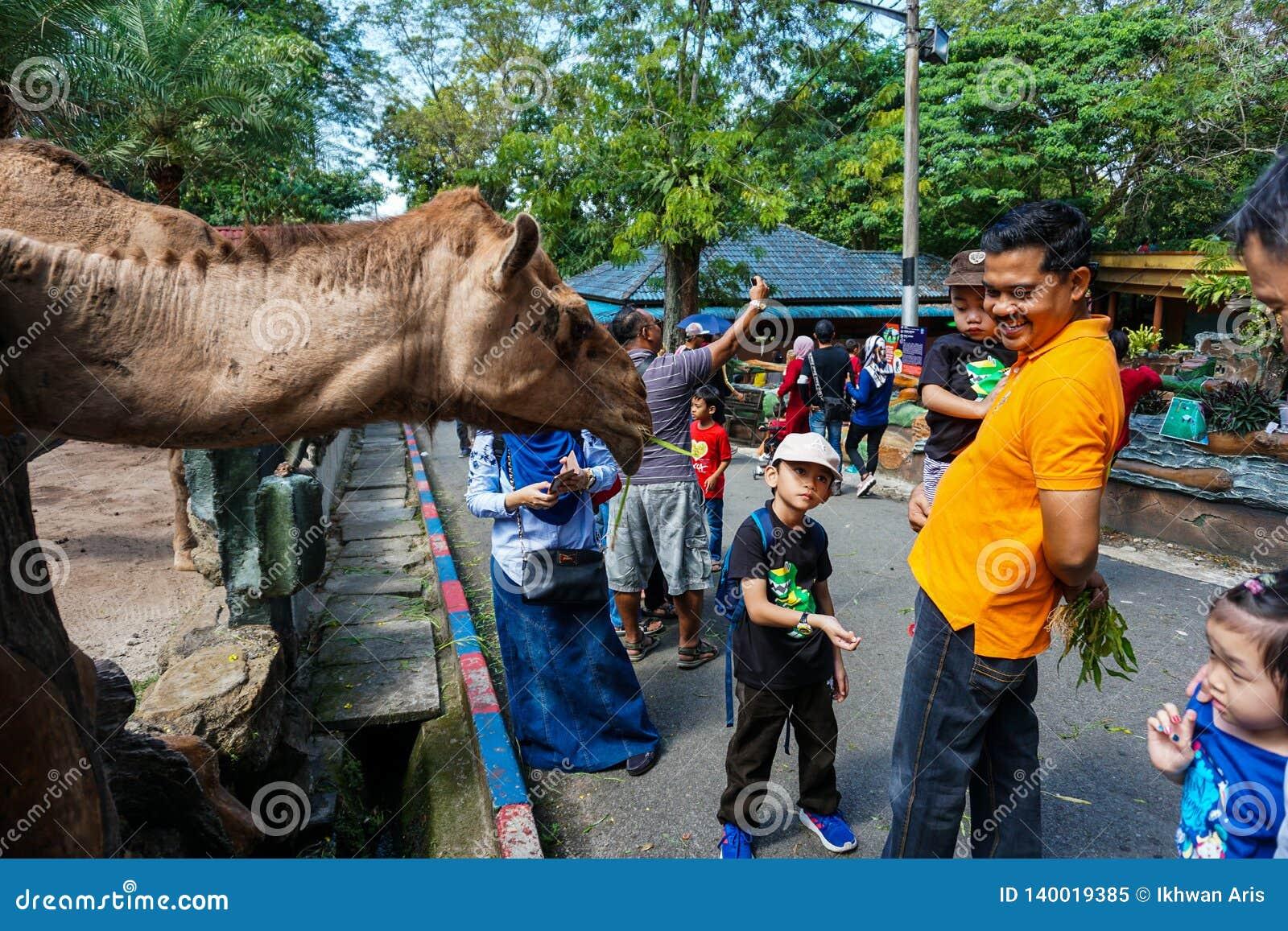 JOHOR MALEZJA, LUTY, - 2019: Gość karmi wielbłądy z ich dzieciakami bierze ich zwrot Jeden interakcji aktywność z