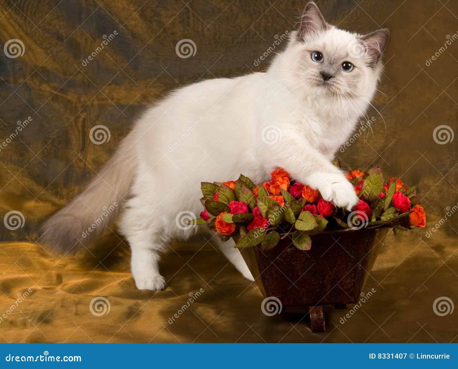 Joli chat mignon de Ragdoll avec des roses