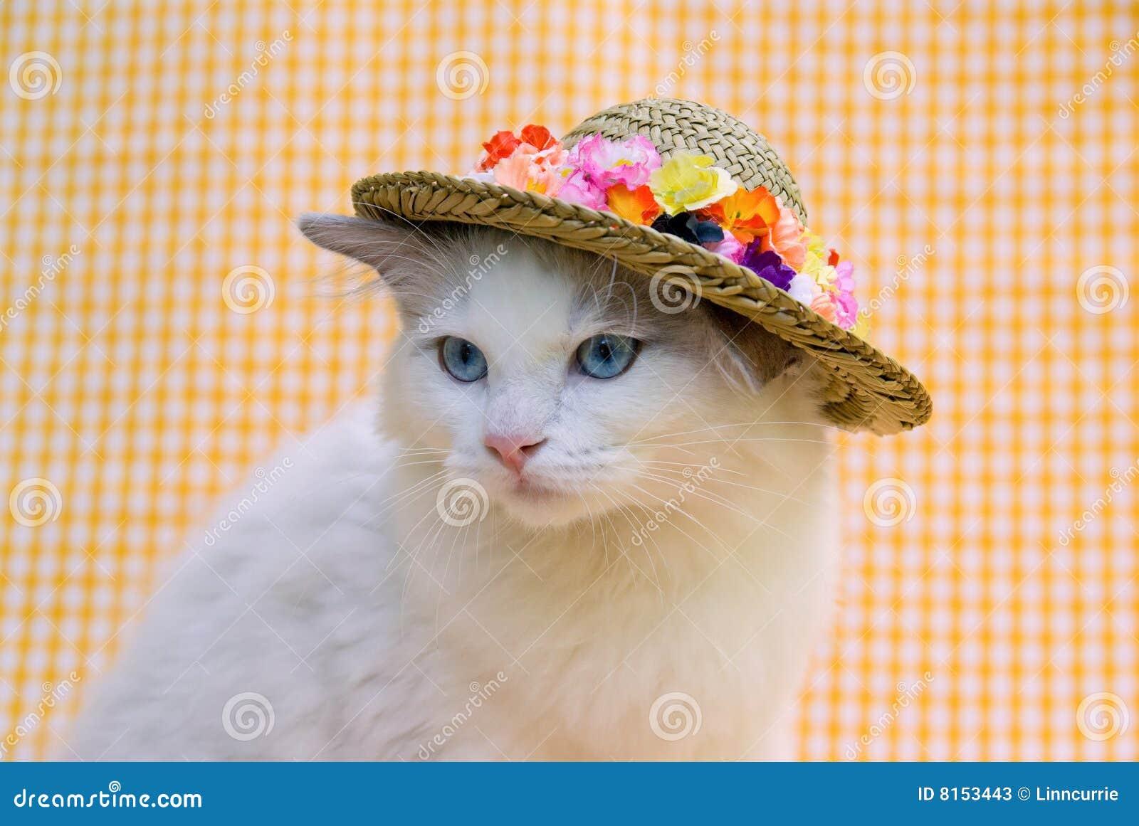 Joli chat mignon de Ragdoll avec un chapeau