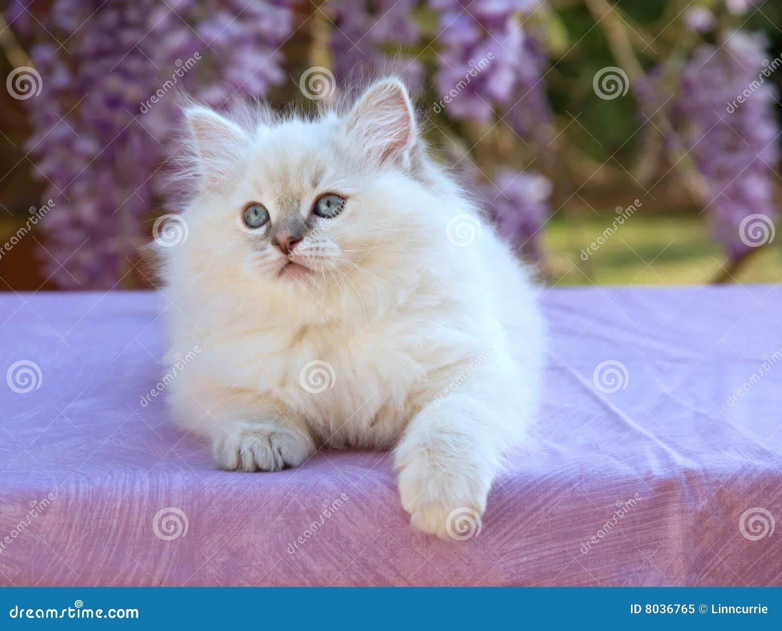 joli chaton mignon de ragdoll avec des fleurs de glycines image stock image du fleur chatons. Black Bedroom Furniture Sets. Home Design Ideas