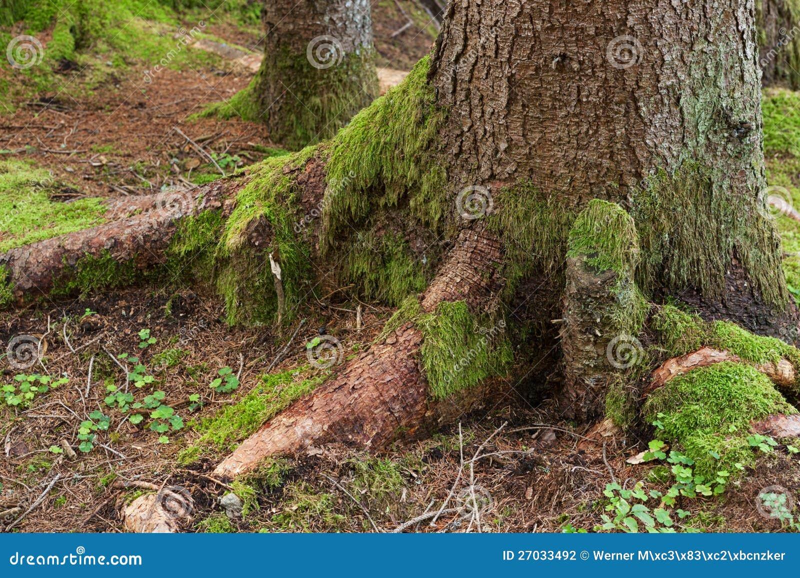 Joncteur r seau d 39 arbre avec de la mousse verte - Mousse sur les arbres ...
