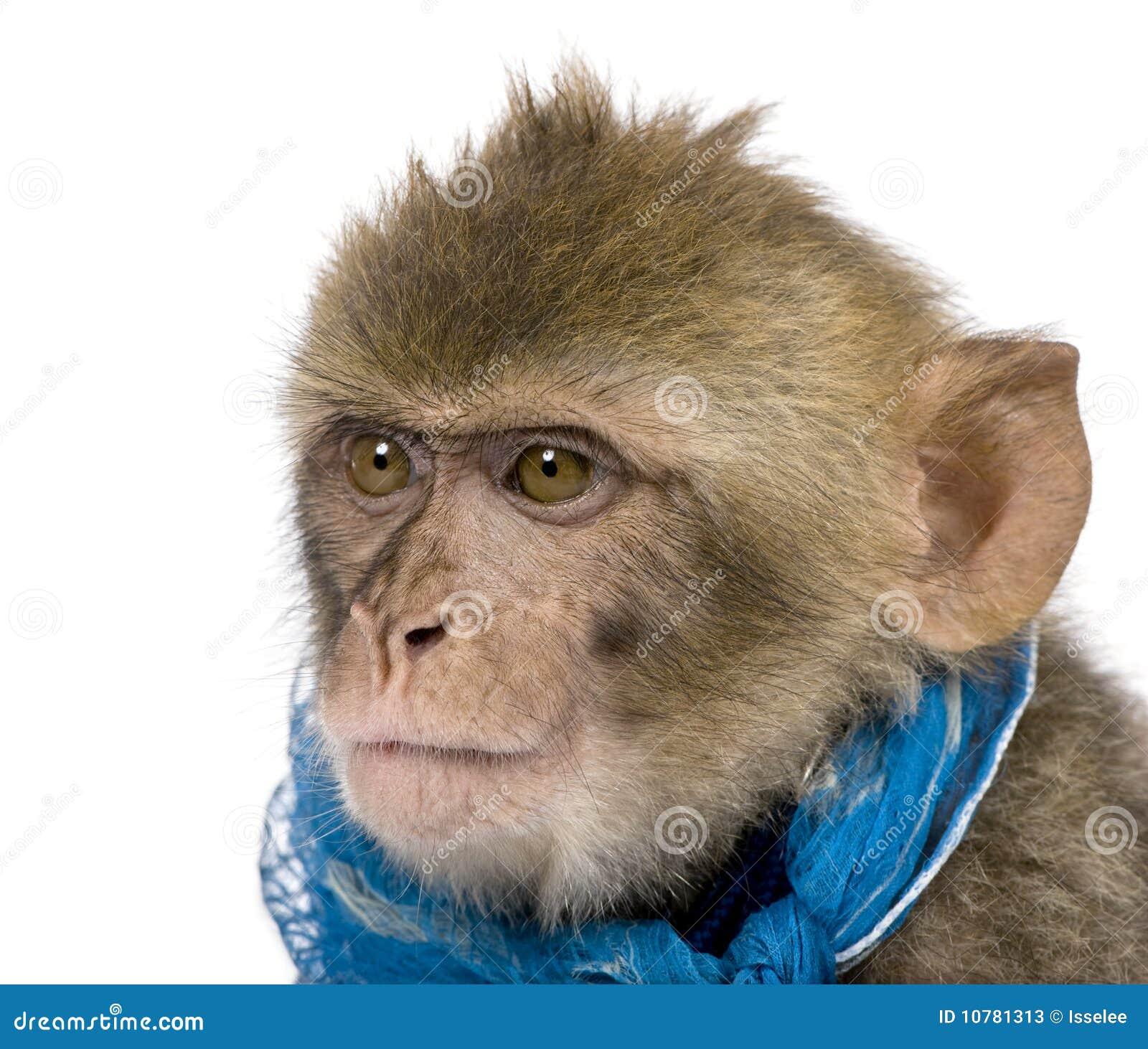 Jong Barbarije Macaque, Macaca Sylvanus, 1 éénjarige