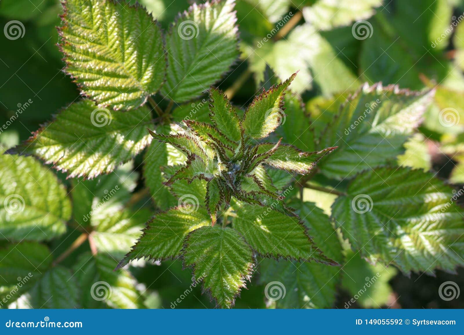 Jong Blackberry-bladerenclose-up in de tuin