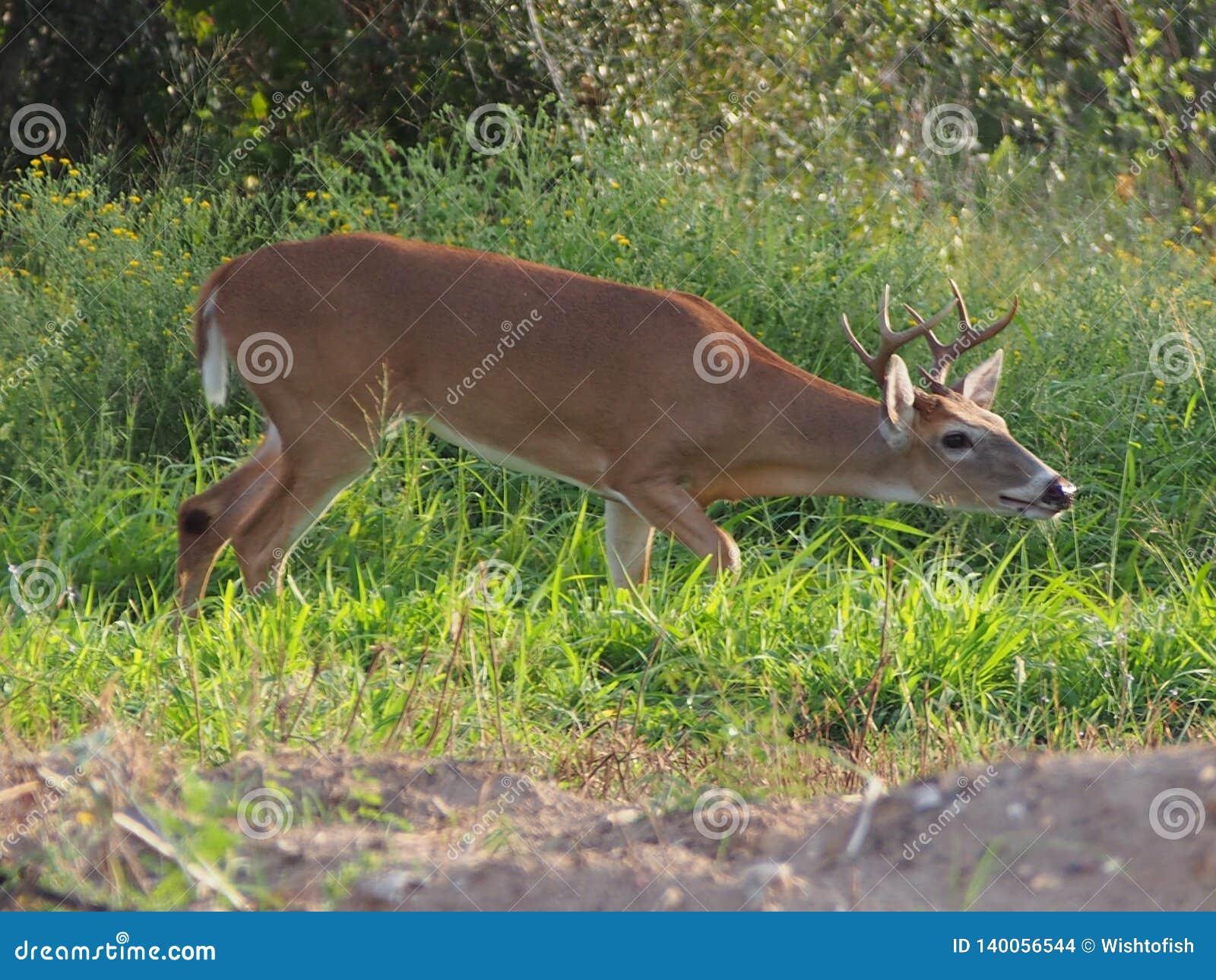 Jong Buck Trailing Female Scent