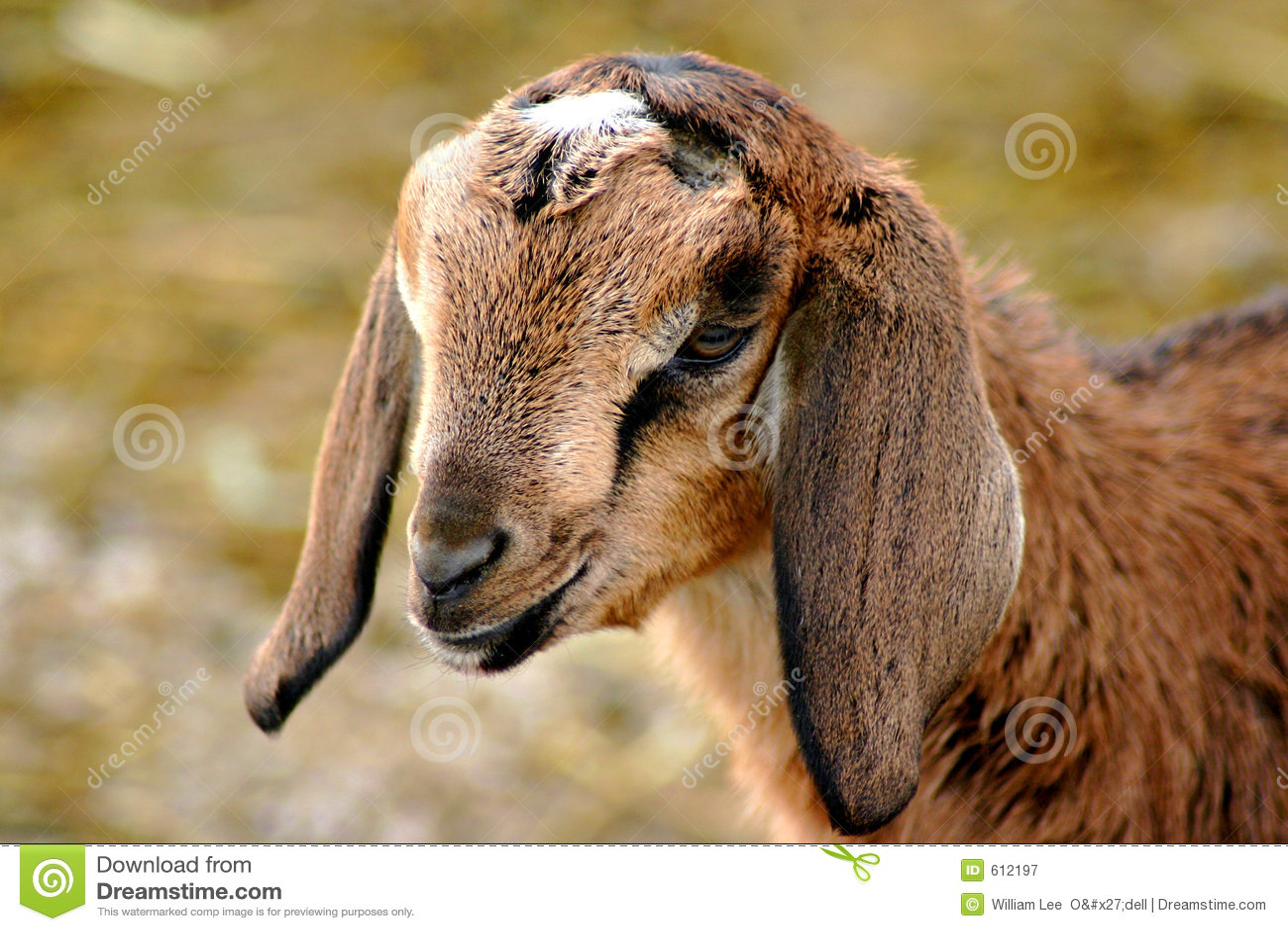 Jong geitje 3 van Nubian