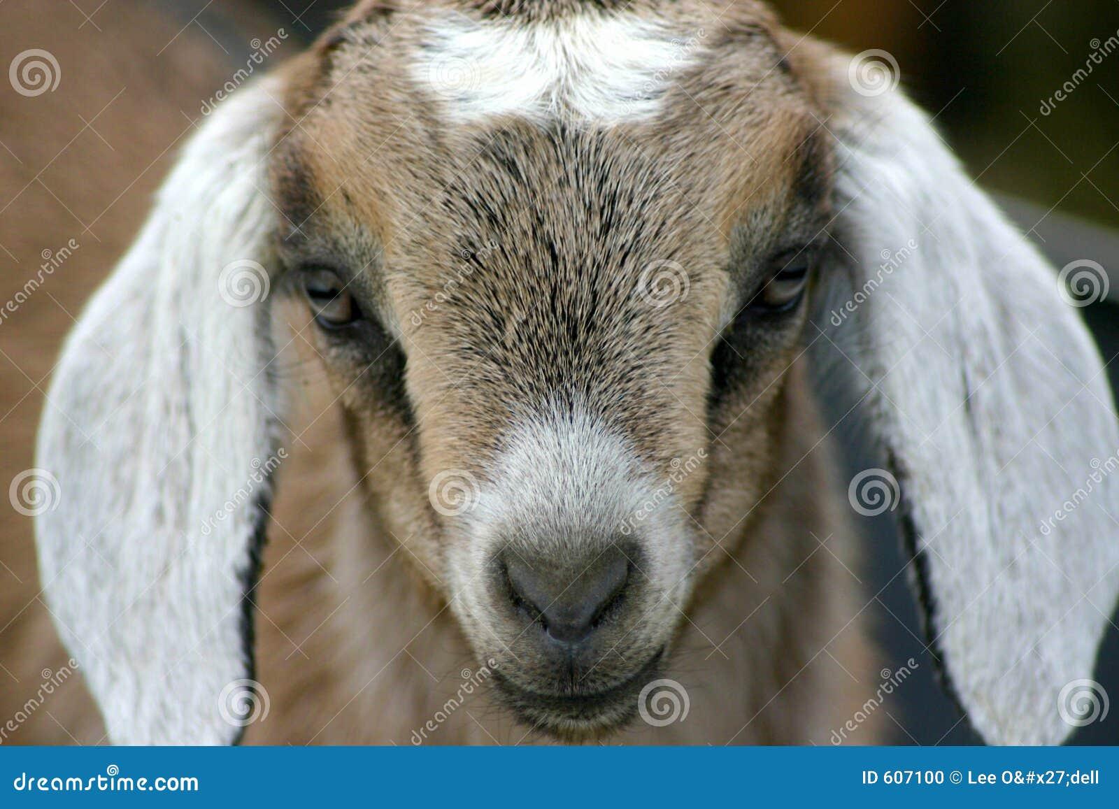 Jong geitje 7 van Nubian