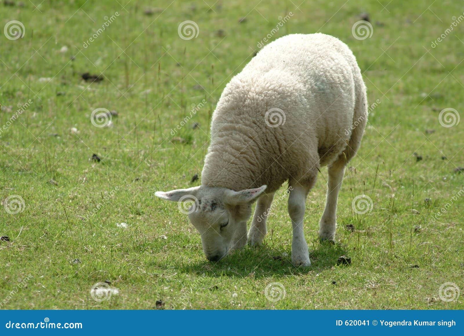 Jong geitje van schapen