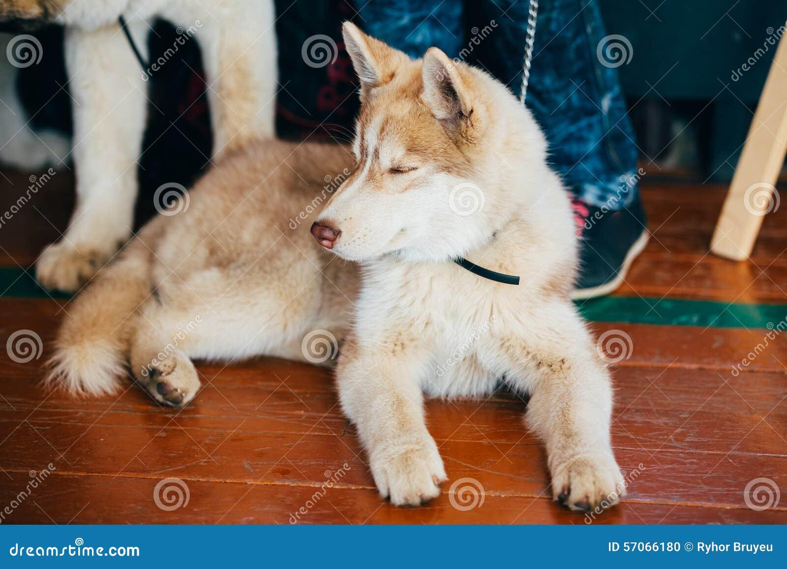 Jong Gelukkig Husky Puppy Eskimo Dog