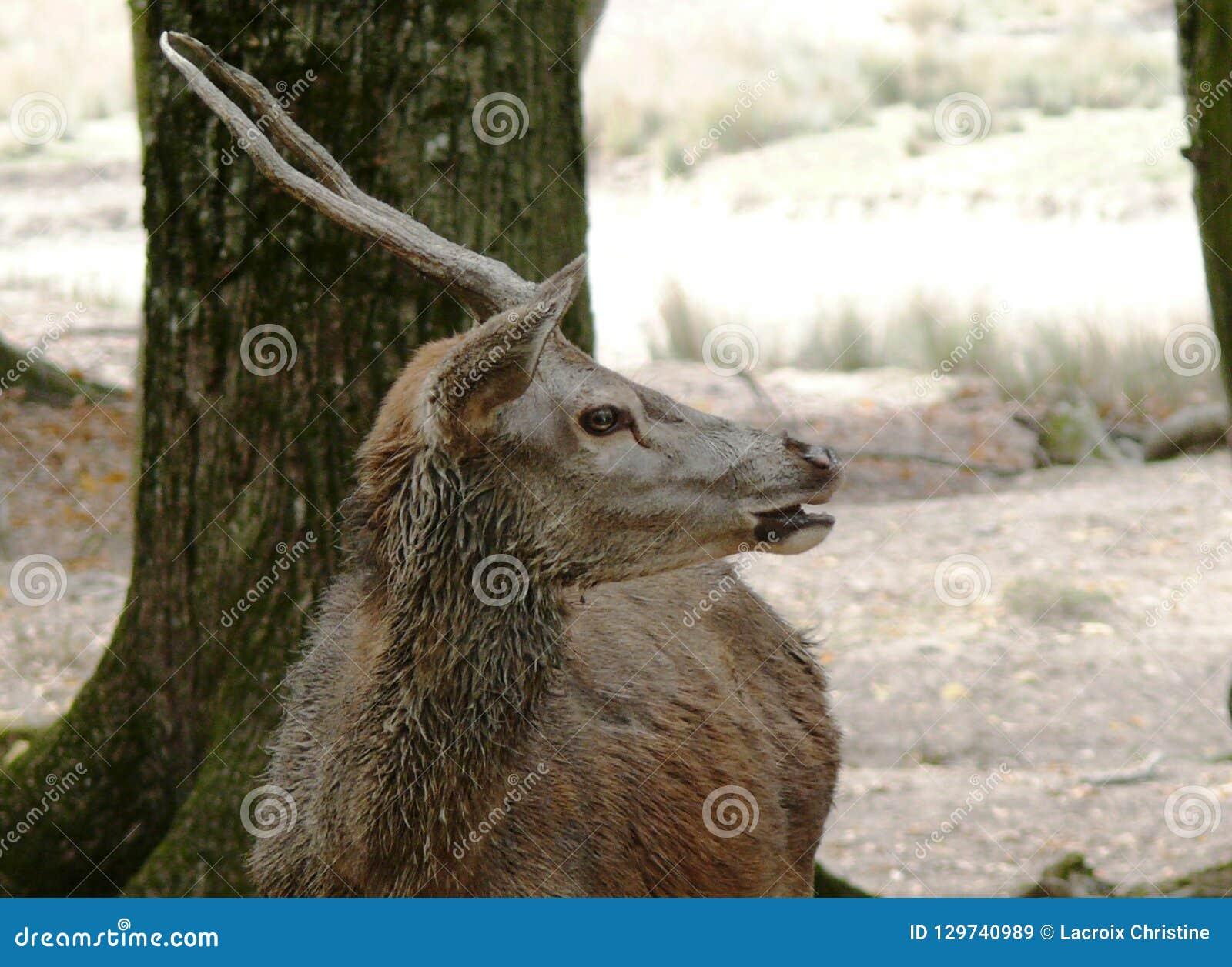 Jong hert bij het dierlijke park van Sainte Croix in Moezel