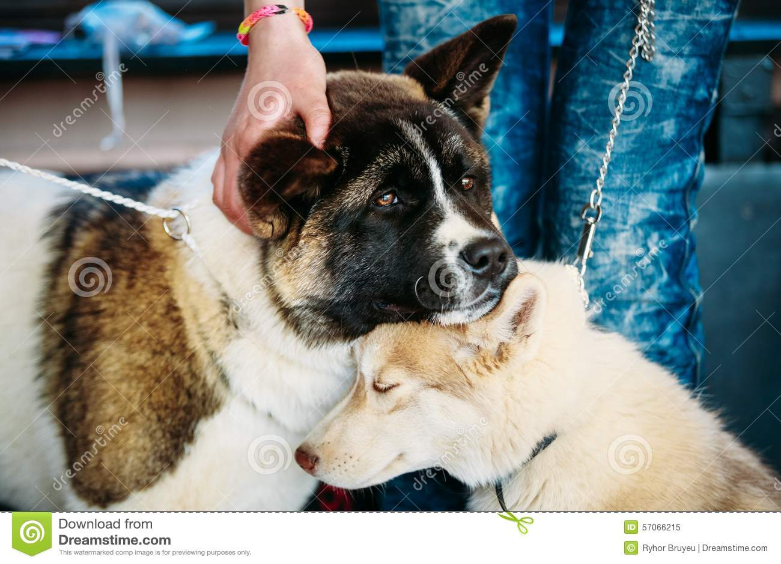 Jong Husky Puppy Eskimo Dog And Amerikaanse Akita