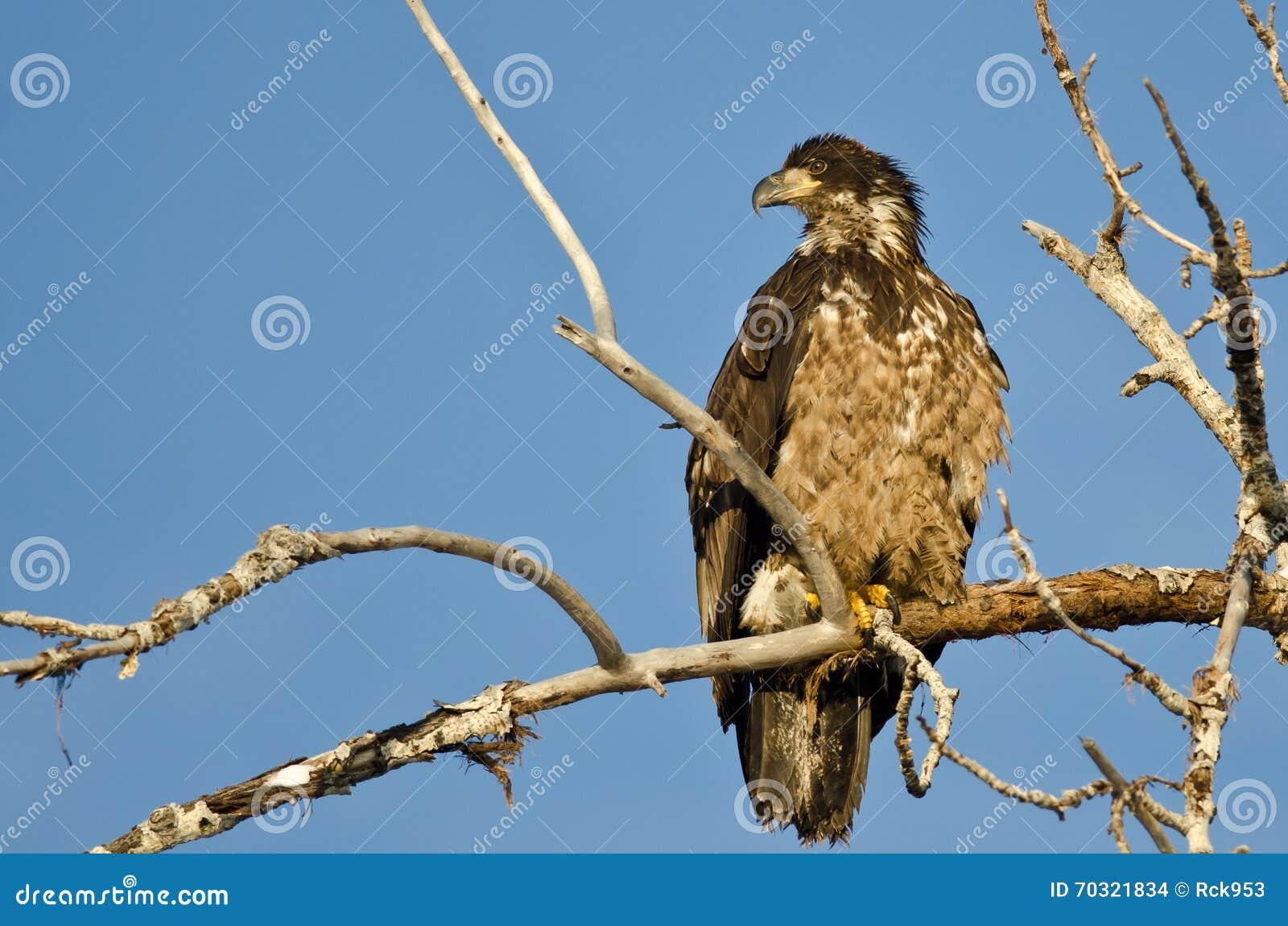 Jong Kaal Eagle Surveying het Gebied terwijl hoog Neergestreken in een Onvruchtbare Boom