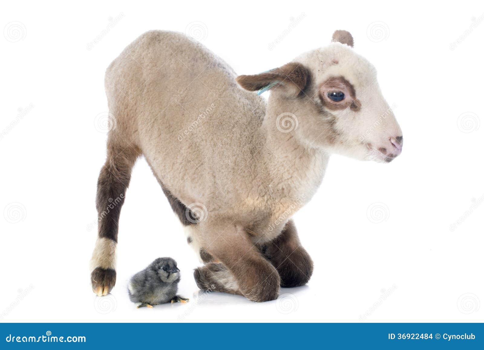 Jong lam en kuiken