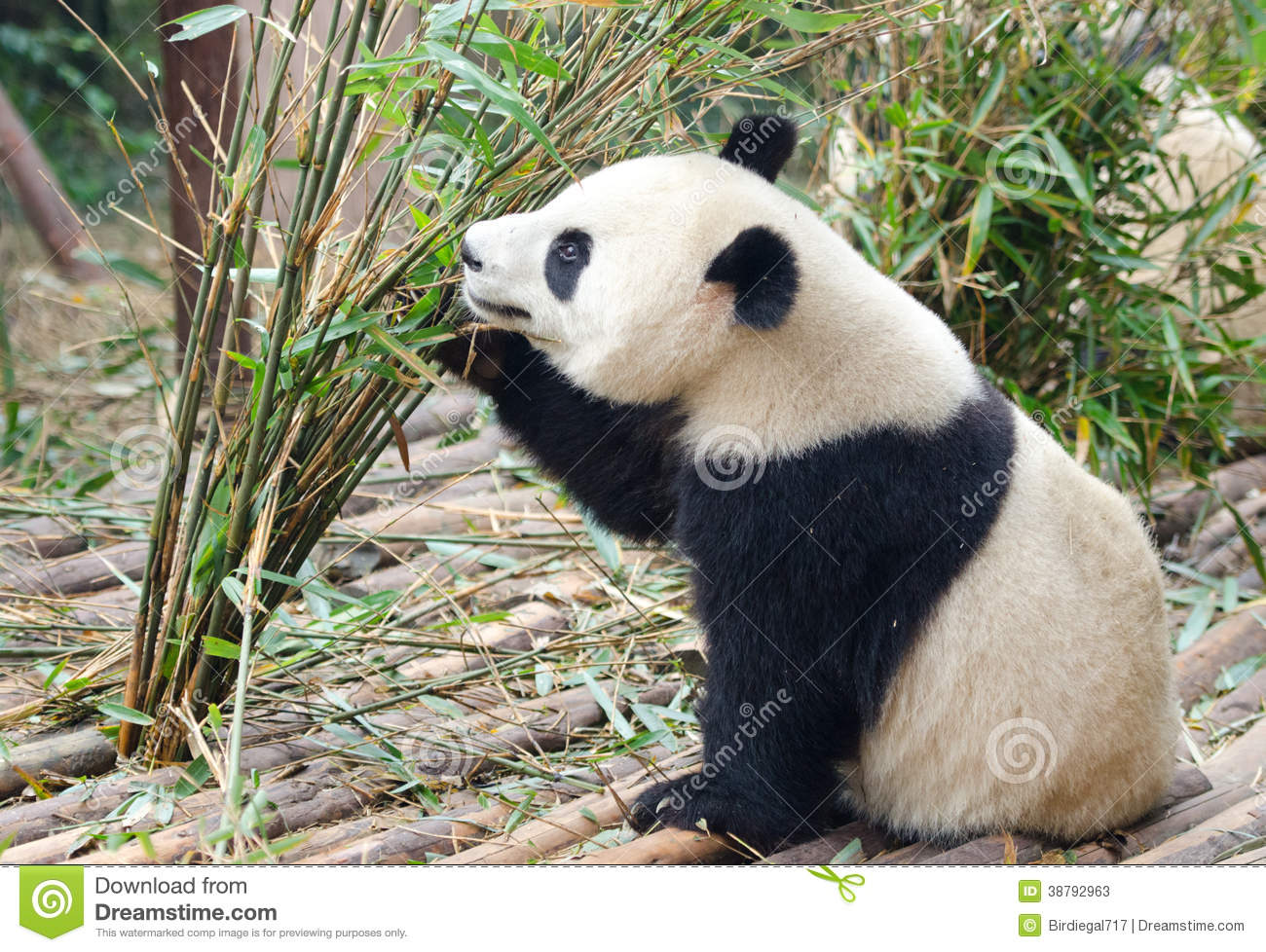 Jong Reuzepanda eating bamboo, China