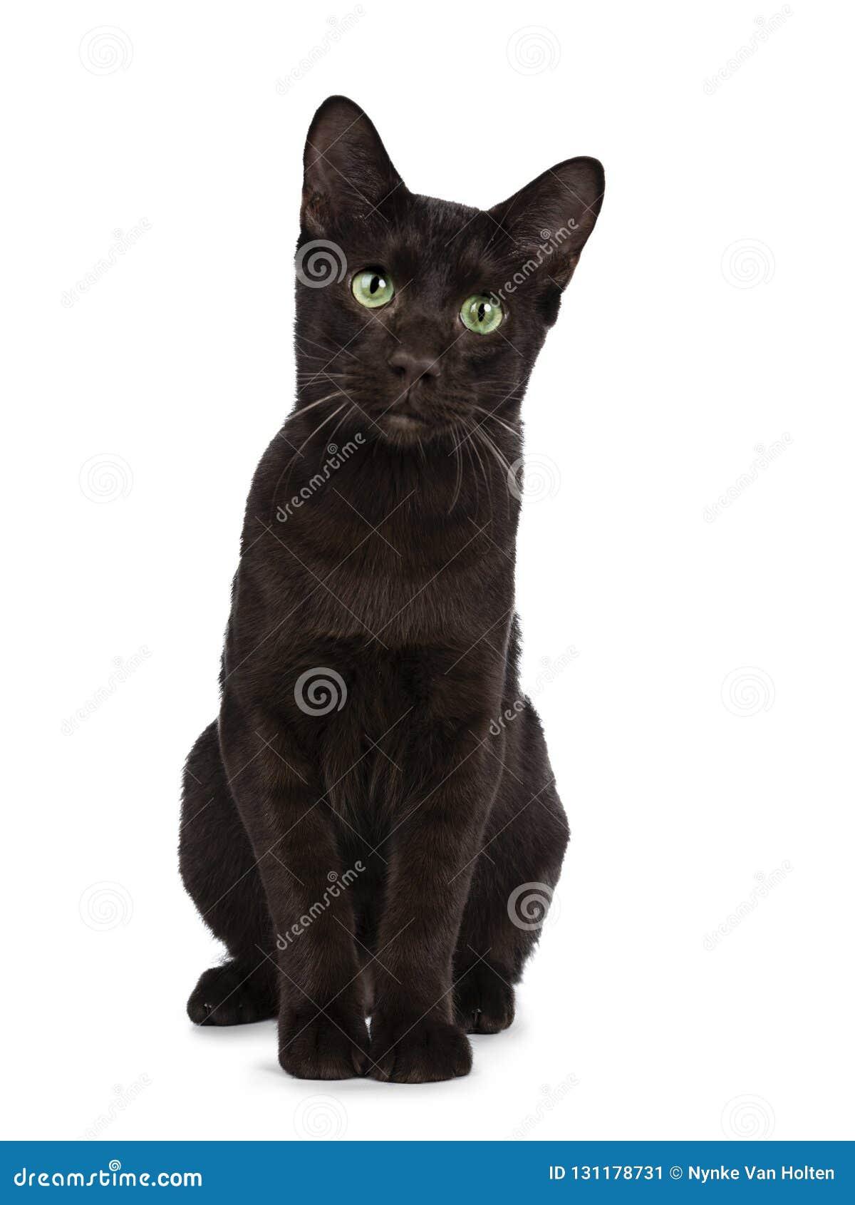 Jong volwassen die Havana Brown-kattenkatje, op een witte achtergrond wordt geïsoleerd