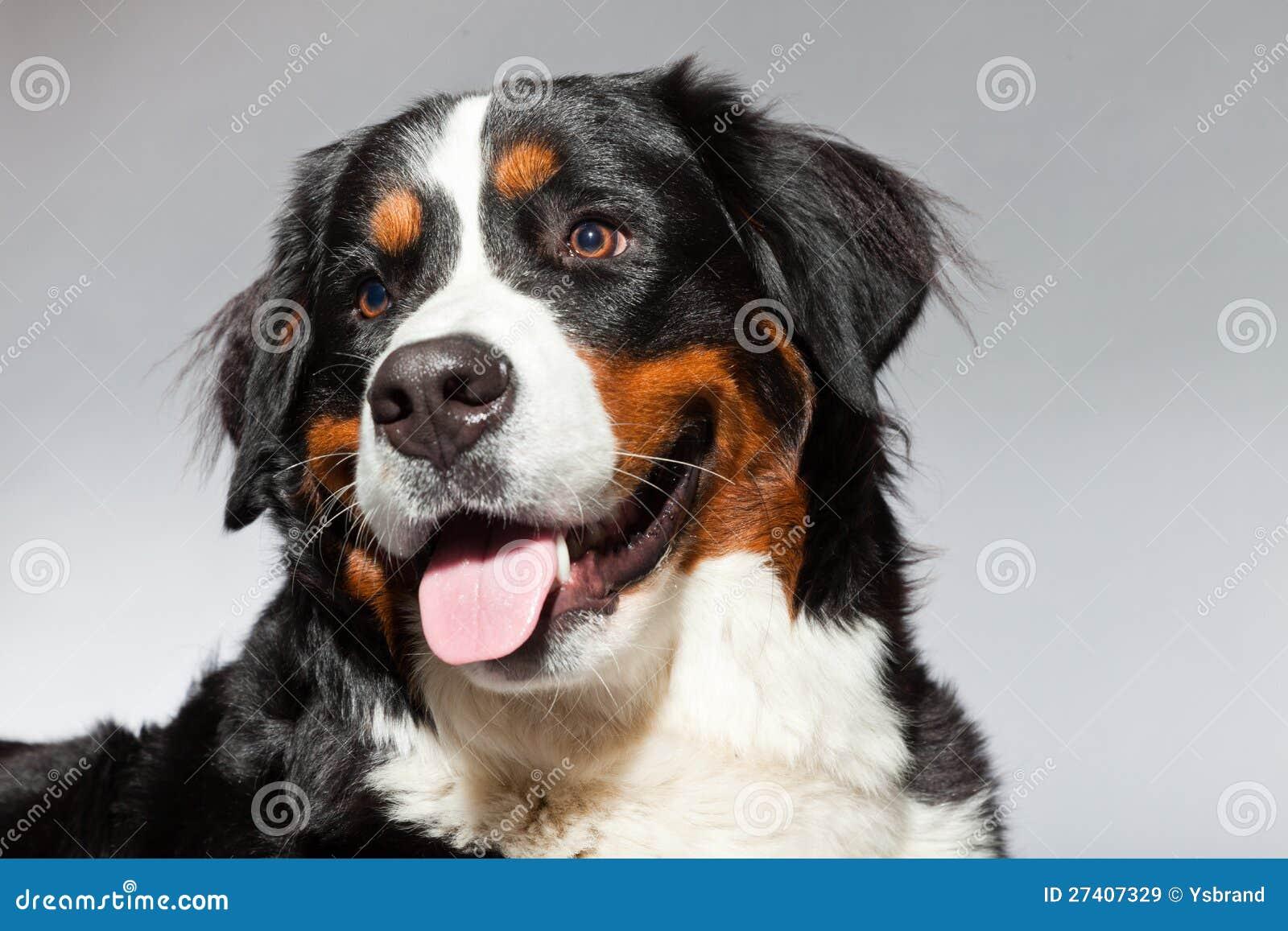 jonge berner sennen hond stock afbeelding afbeelding