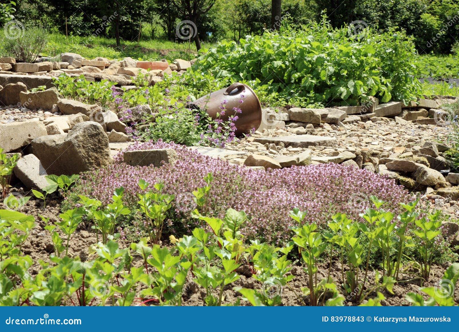Jonge bieten, selderie en thyme in de tuin van het land