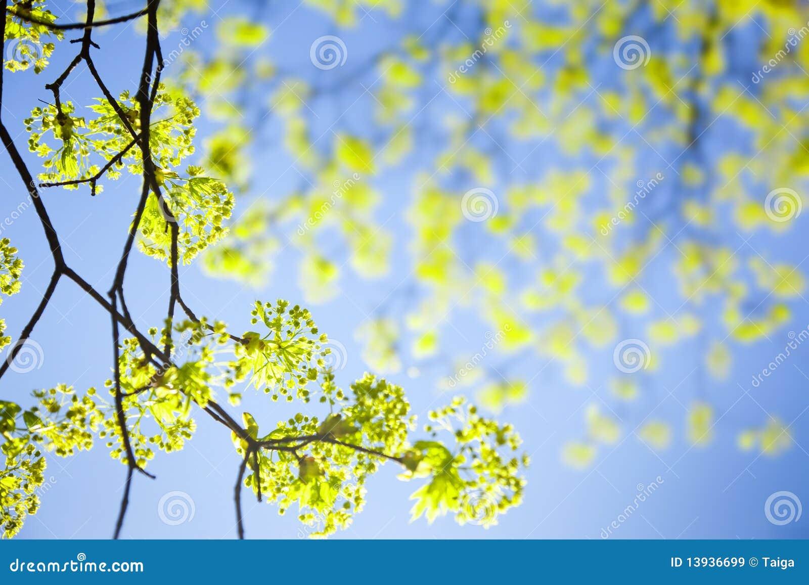 Jonge de lentebladeren tegen de hemel