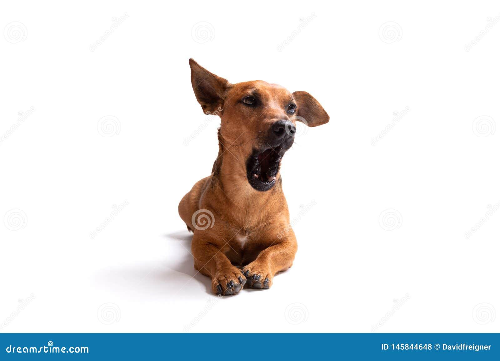 Jonge en kleine bruine die hond op een witte achtergrond wordt ge?soleerd