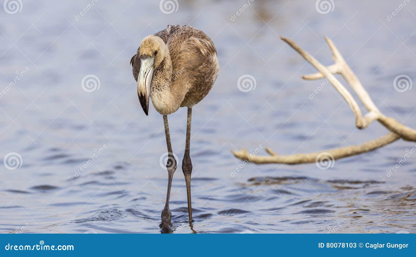 Jonge flamingo