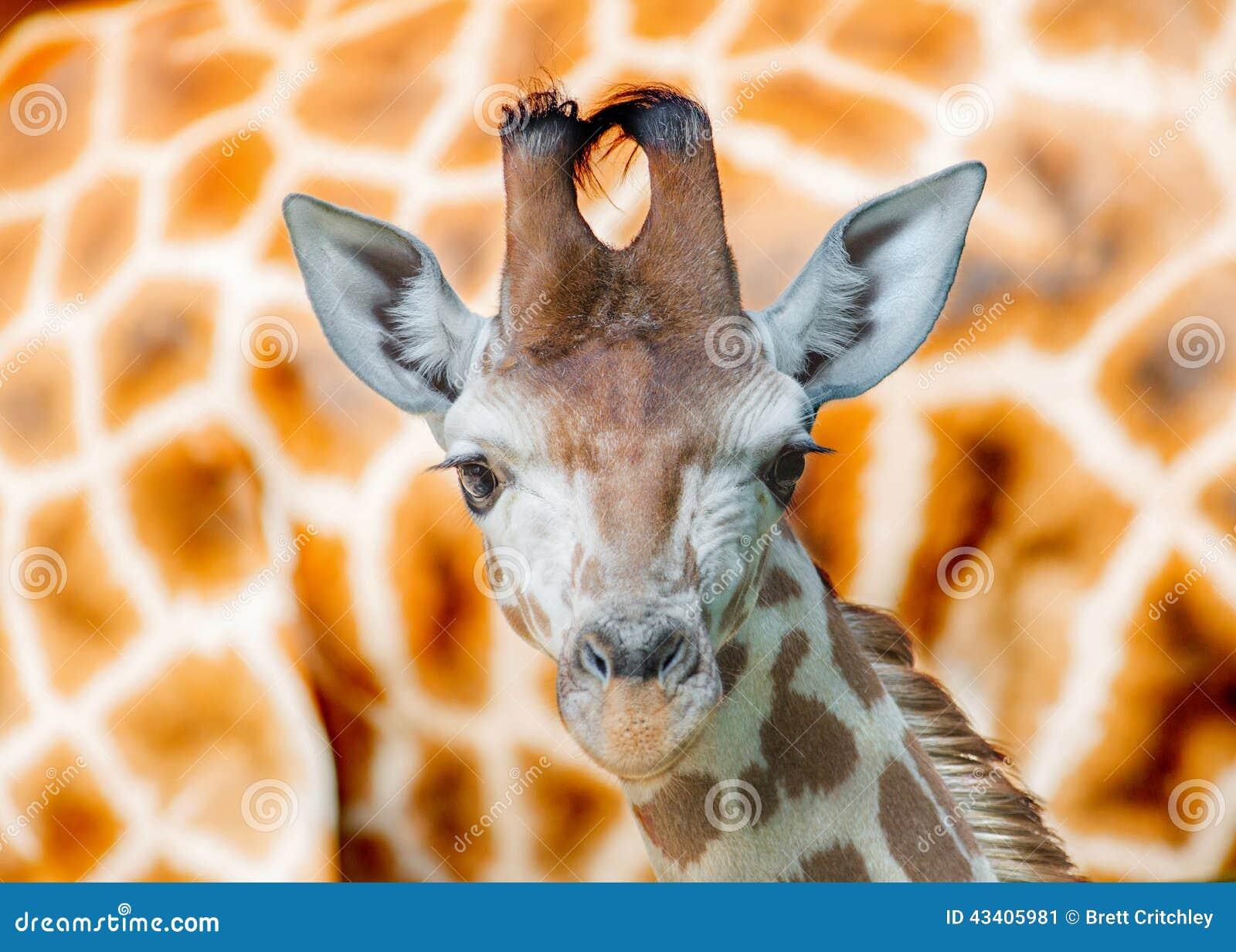 Jonge Giraf