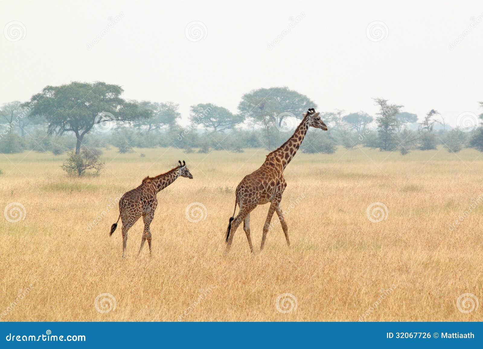 Jonge giraf en moeder
