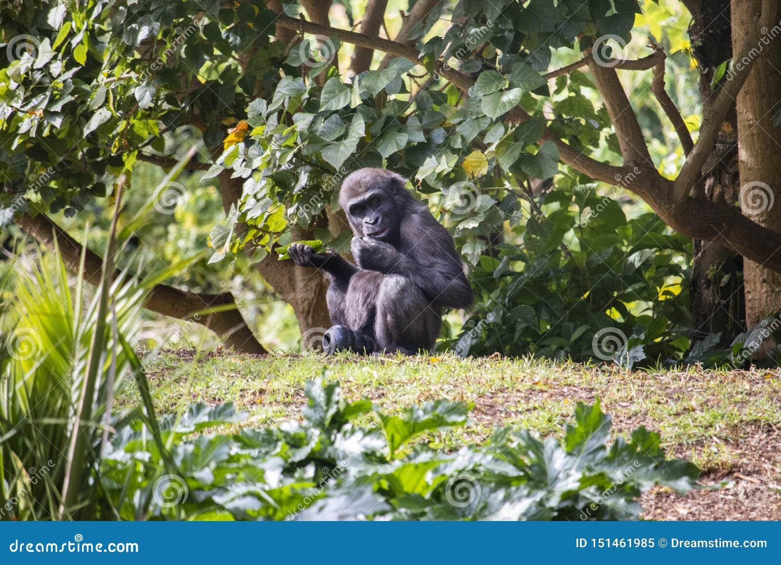 Jonge gorilla bij zo