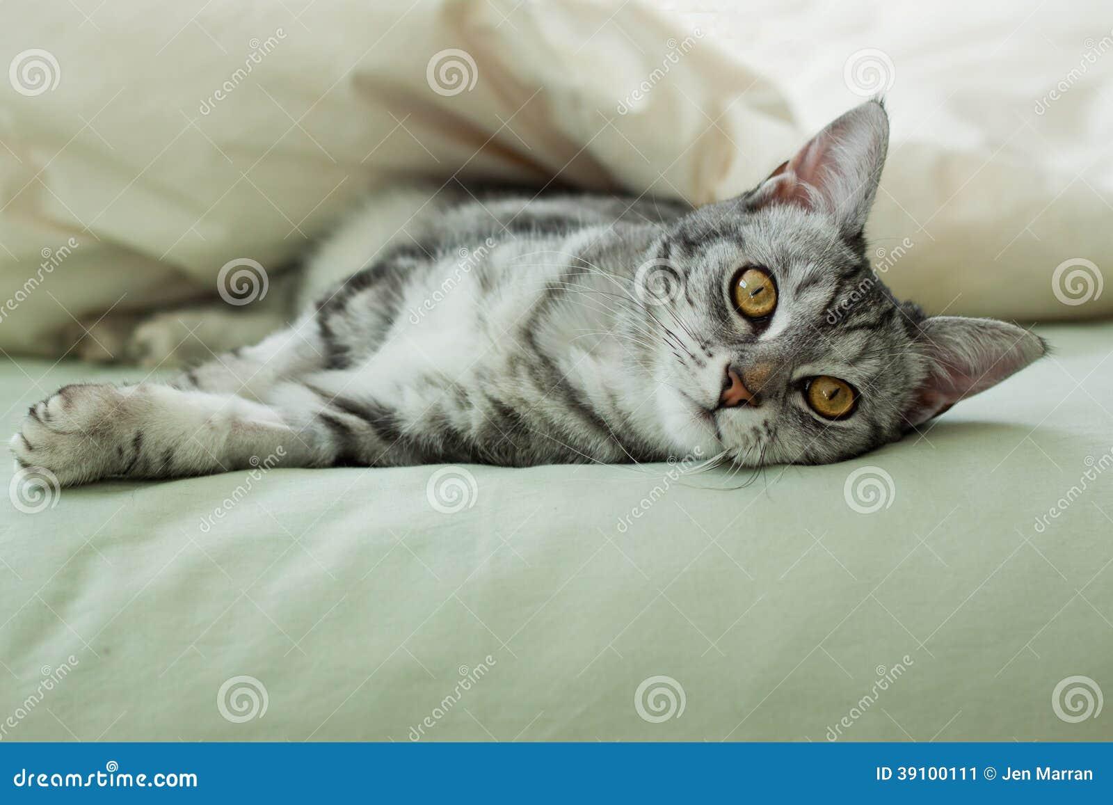 Jonge grijze gestreepte katkat die op bed rusten