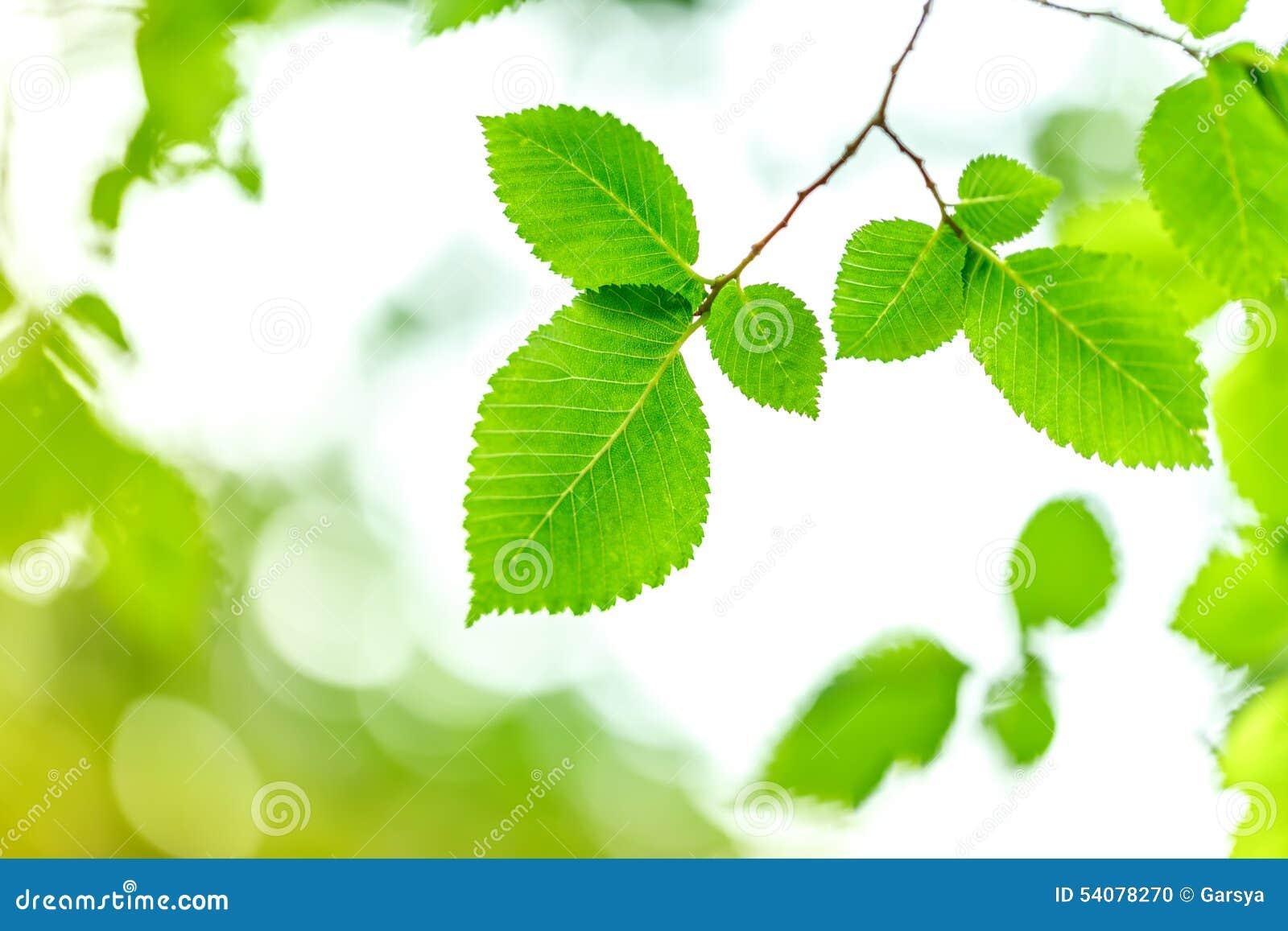 Jonge groene bladeren in de zomerochtend