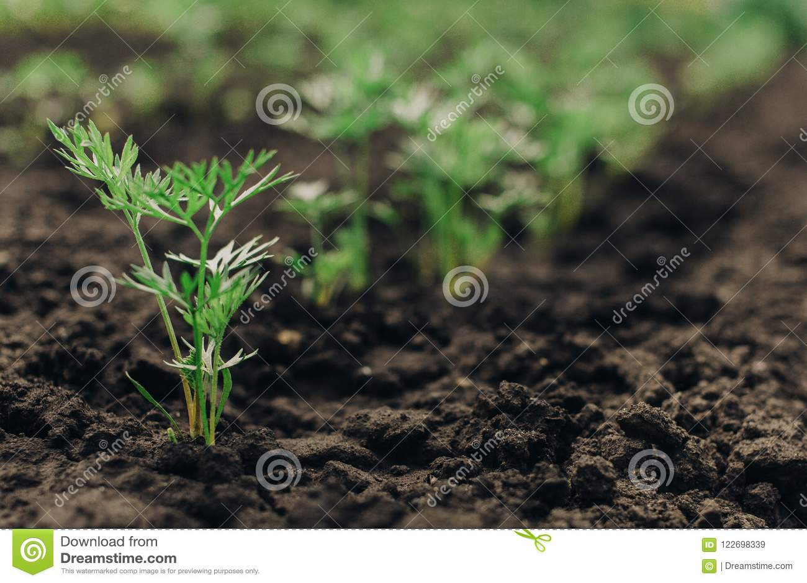 Jonge groene wortelplannen op een weg in de moestuin