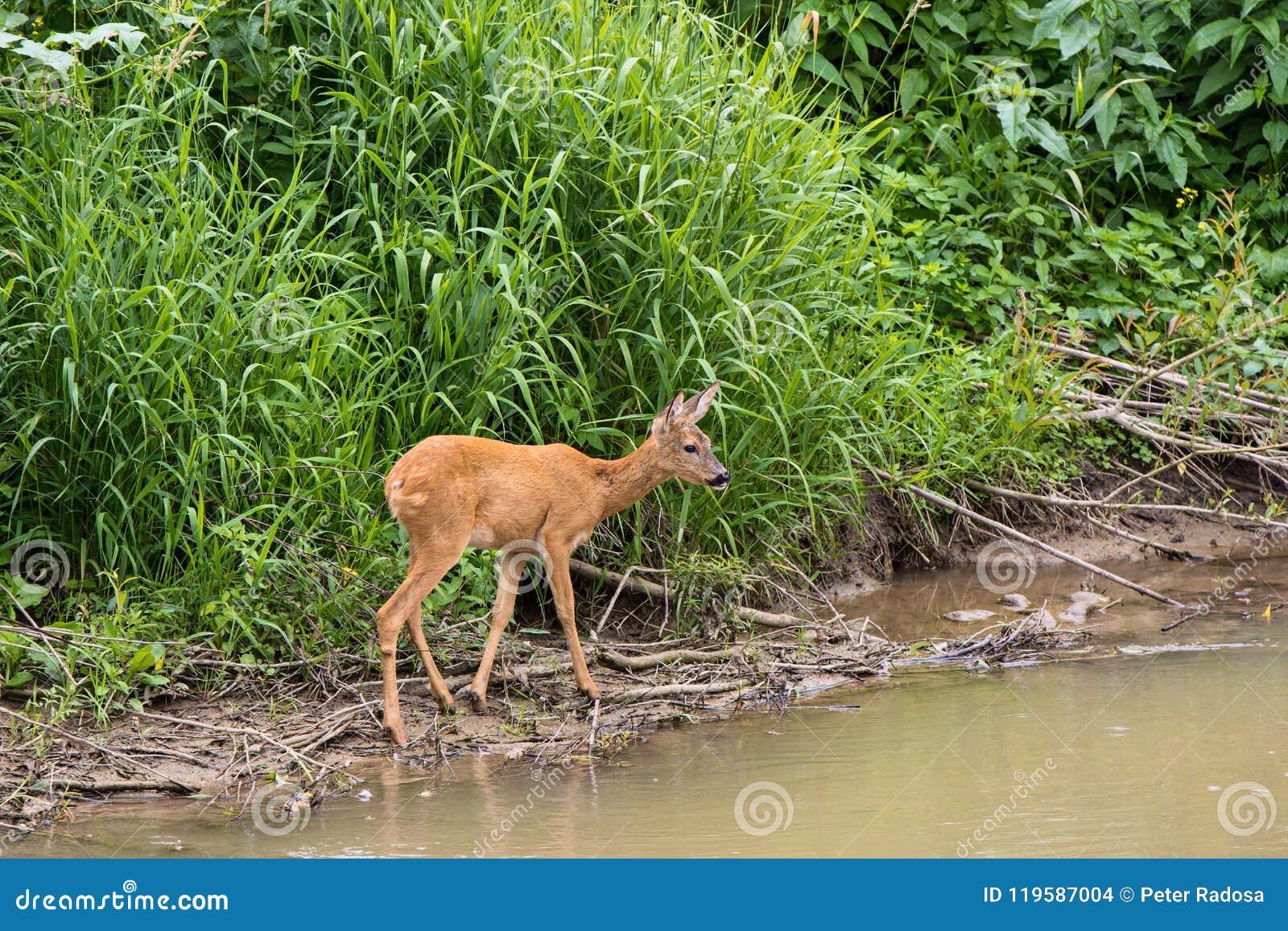 Jonge hertentribunes door de rivier