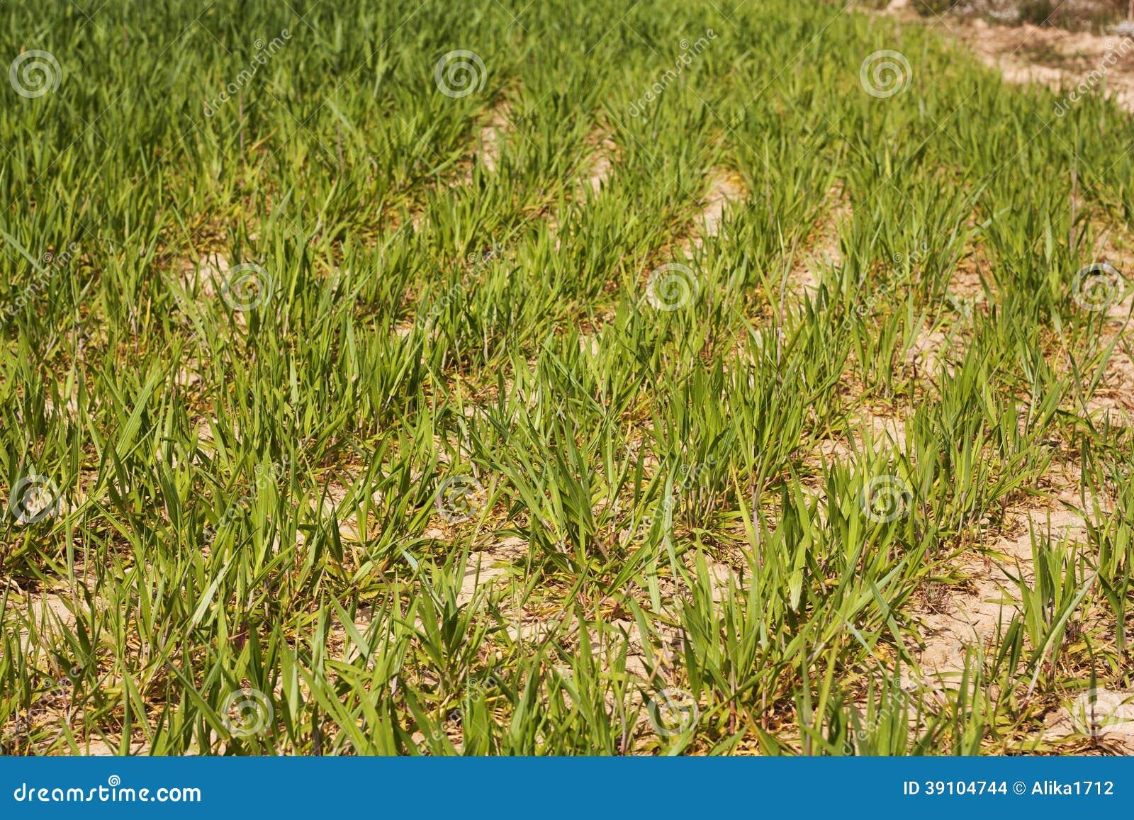 Jonge het gebiedslandbouw van de zoete maïstarwe