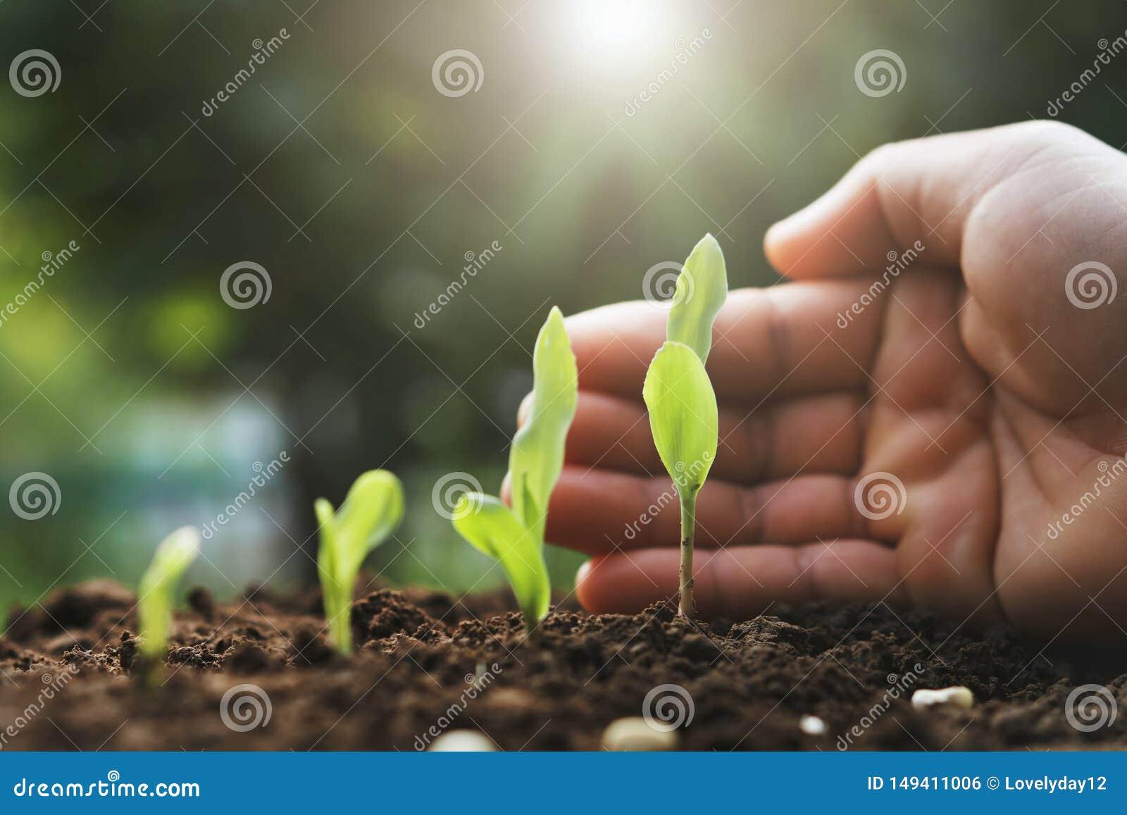 Jonge het graaninstallatie van de handbescherming in landbouwbedrijf Landbouw comcept