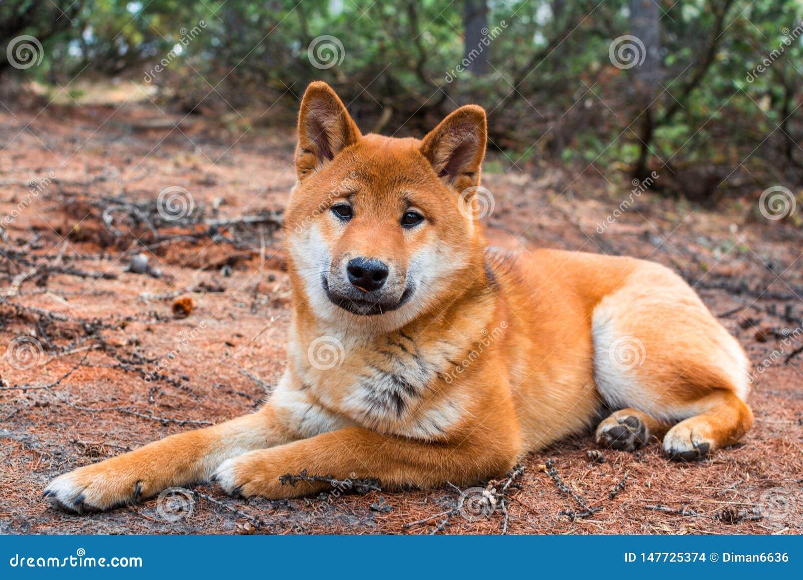 Jonge hondshiba-inu ligt ter plaatse rustend