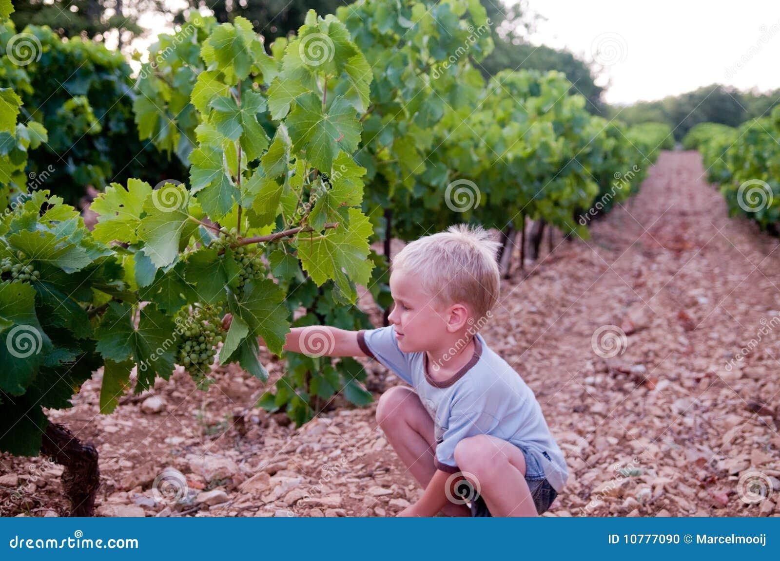 Jonge jongen het oogsten druif