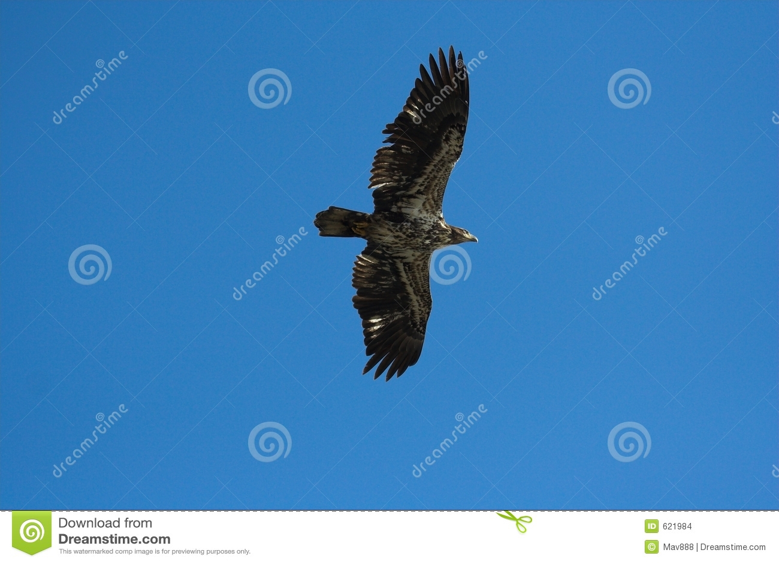 Jonge kale adelaar