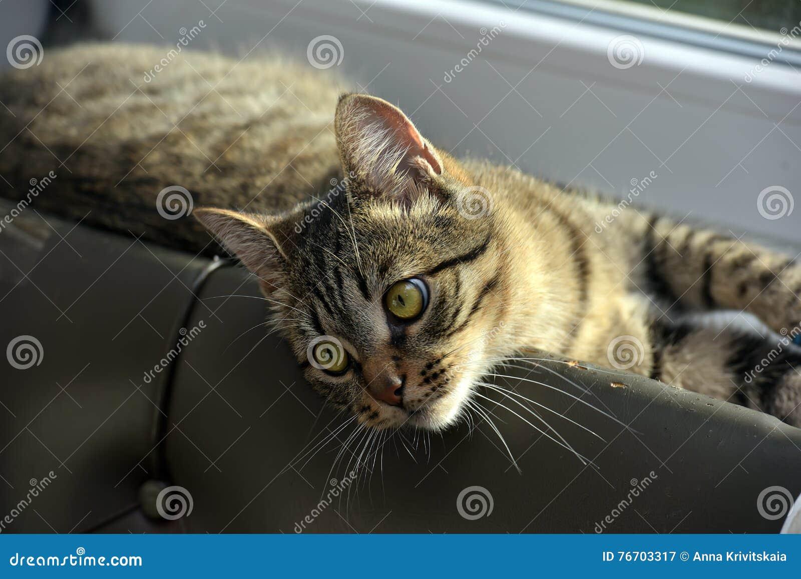 Jonge knappe gestreepte katkat thuis