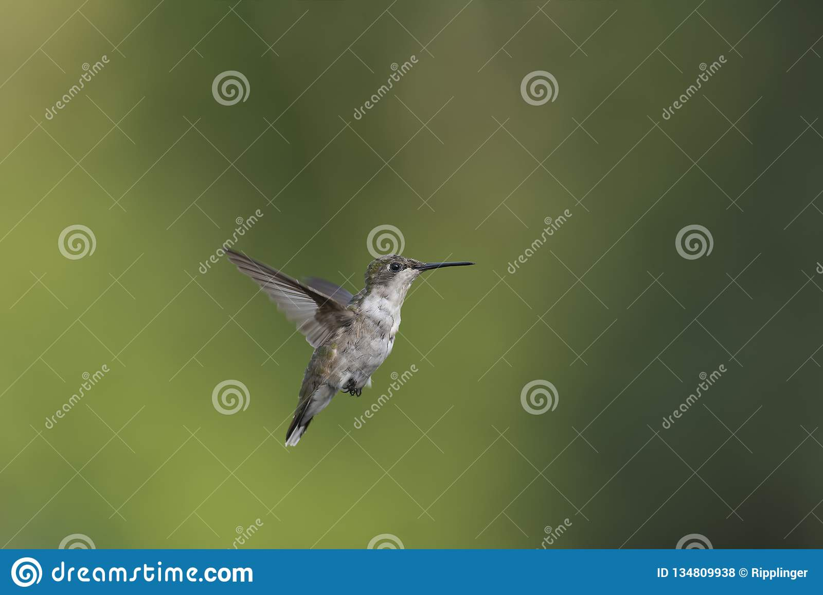 Jonge Kolibrie die in volwassenheid ruien