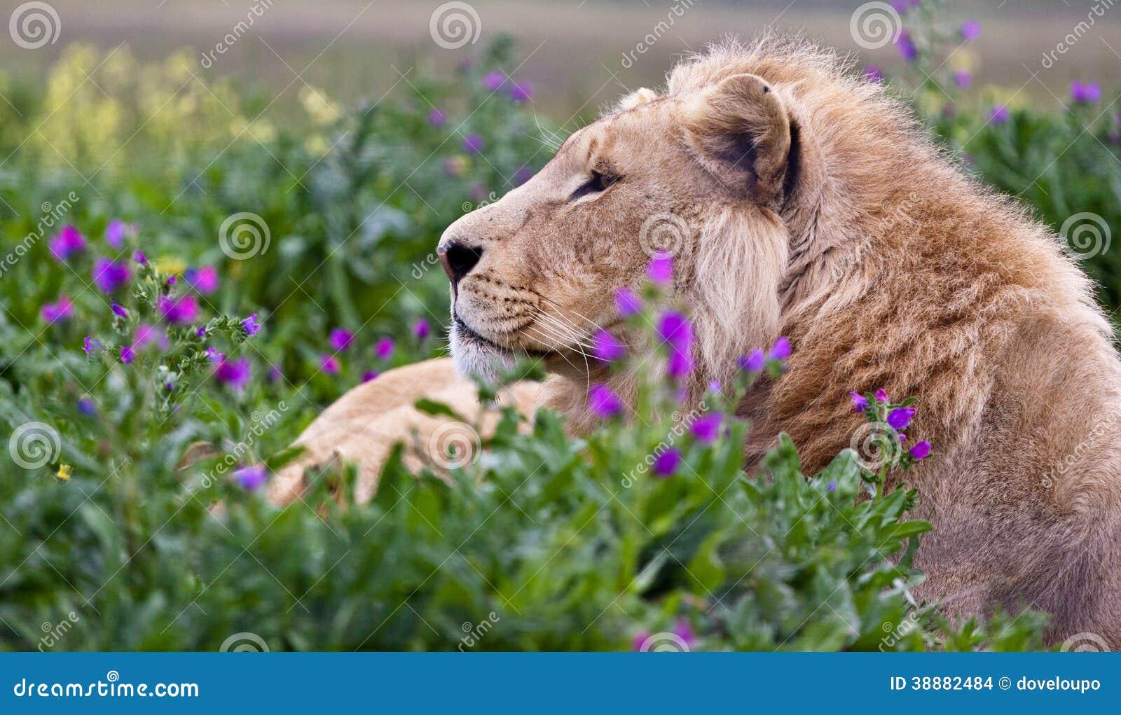 Jonge Mannelijke Leeuw