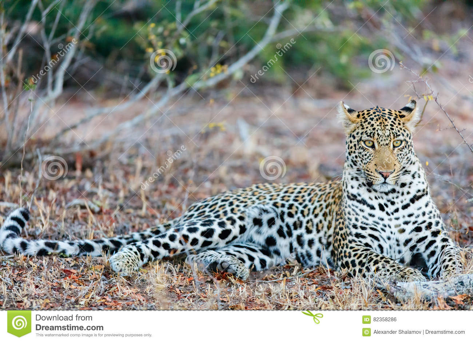 Jonge mannelijke luipaard