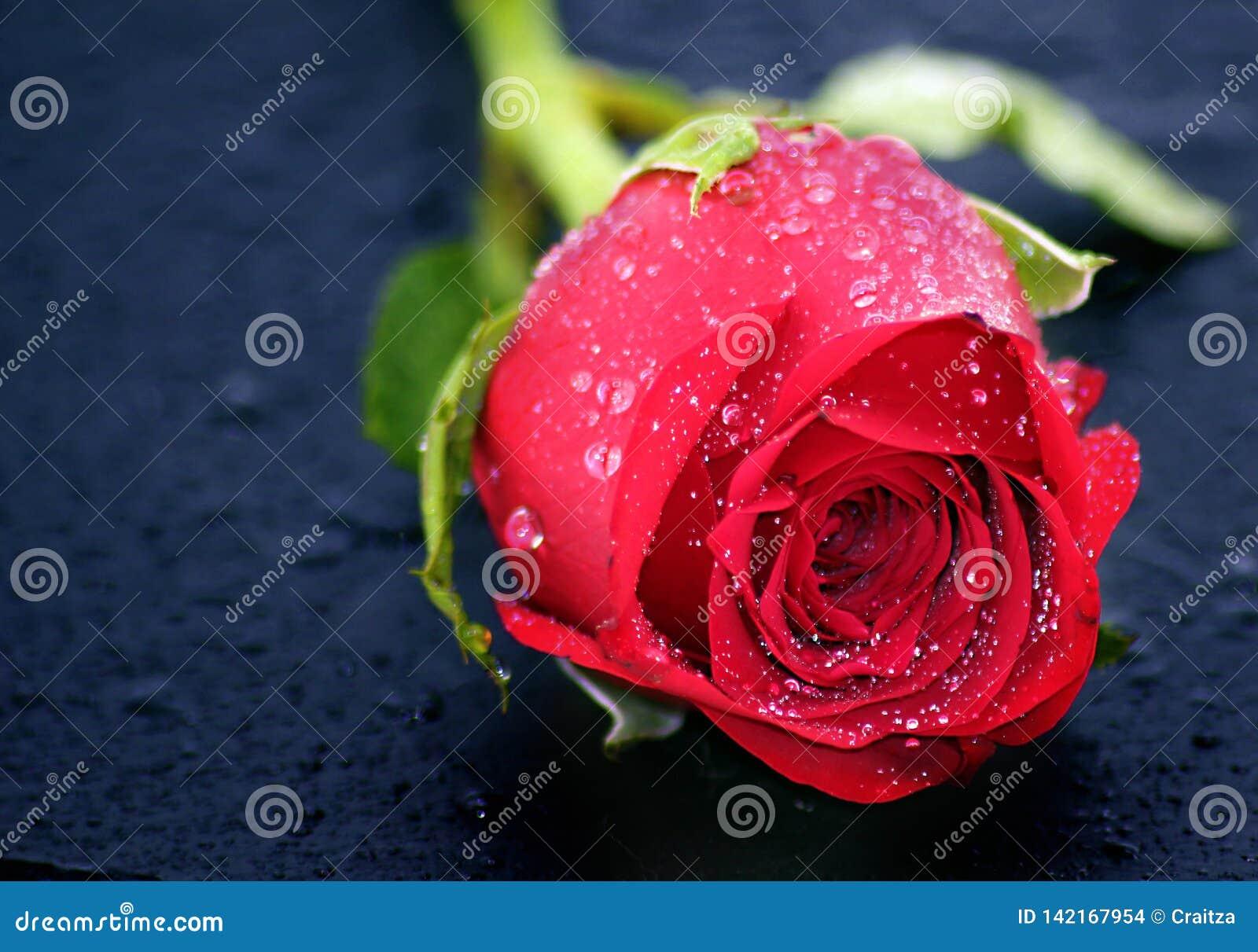 Jonge Mooie Rose With Early Morning Dew laat vallen Close-up