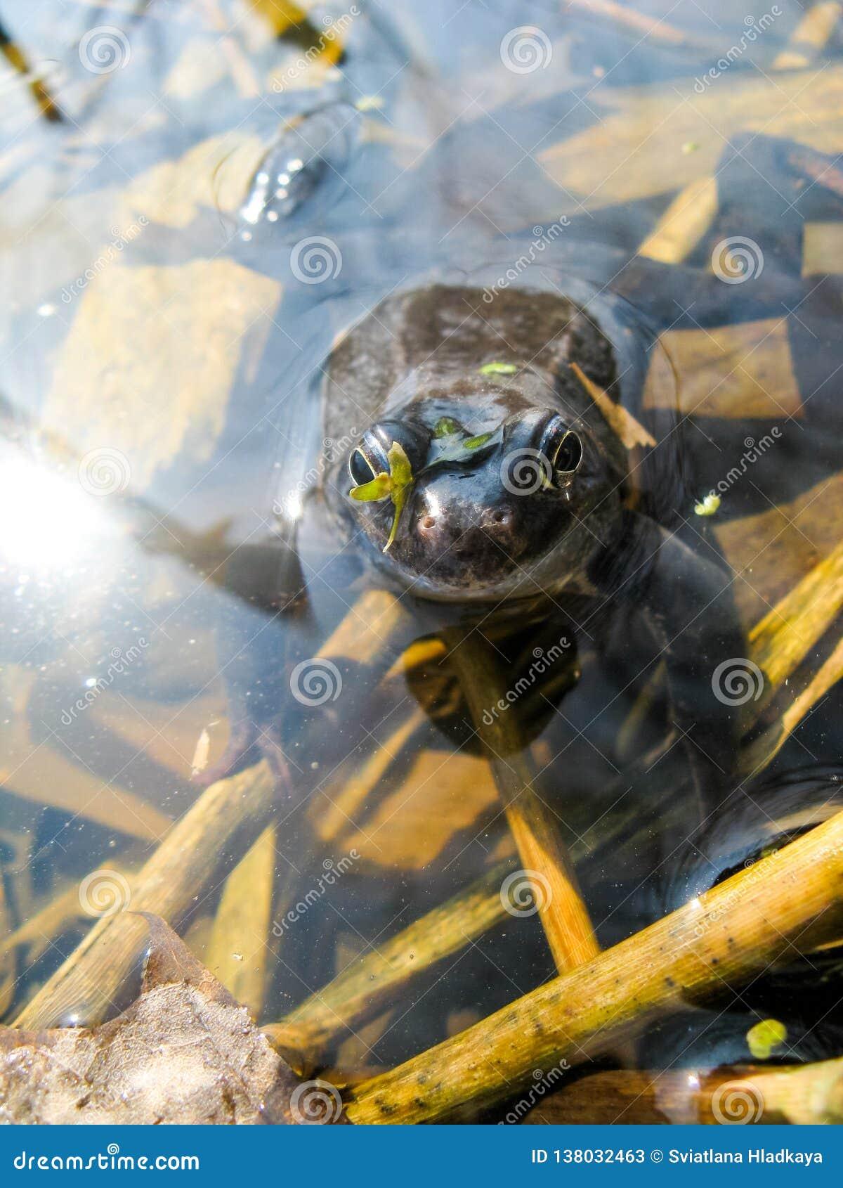 Jonge nieuwsgierige natte kikker met doende zwellen ogen die uit het water gluren