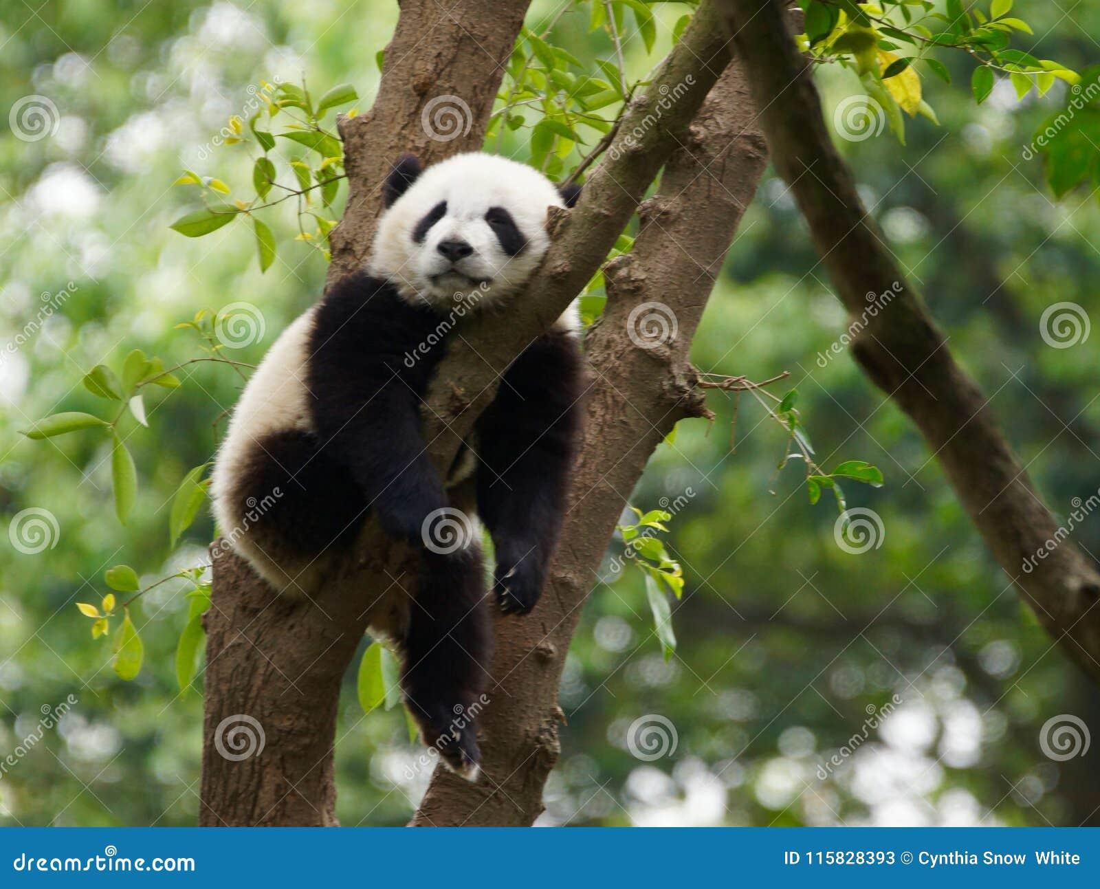 Jonge pandaslaap in een boom