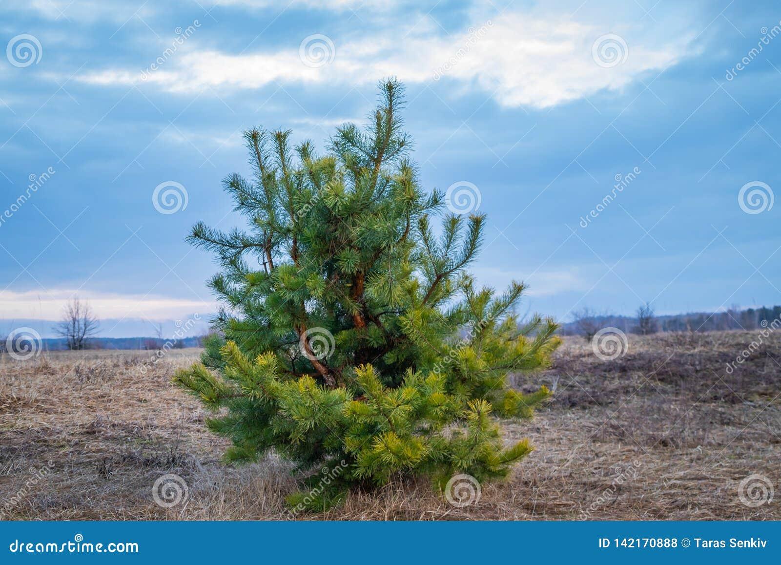 Jonge pijnboom, naaldboom, eenzaam, op een open gebied, in de lente